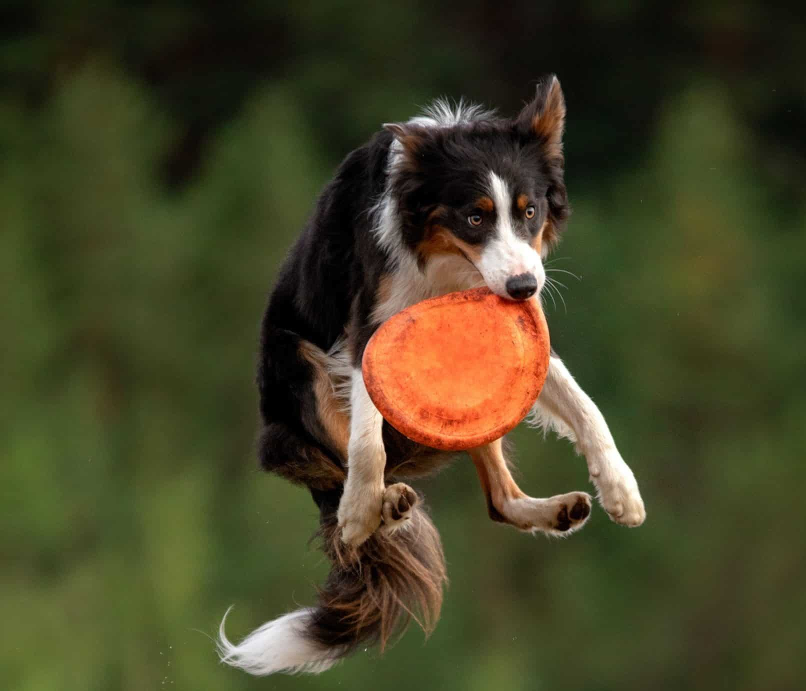 Border collie plays frisbee. Border collies are smart dogs eager to learn new tricks.