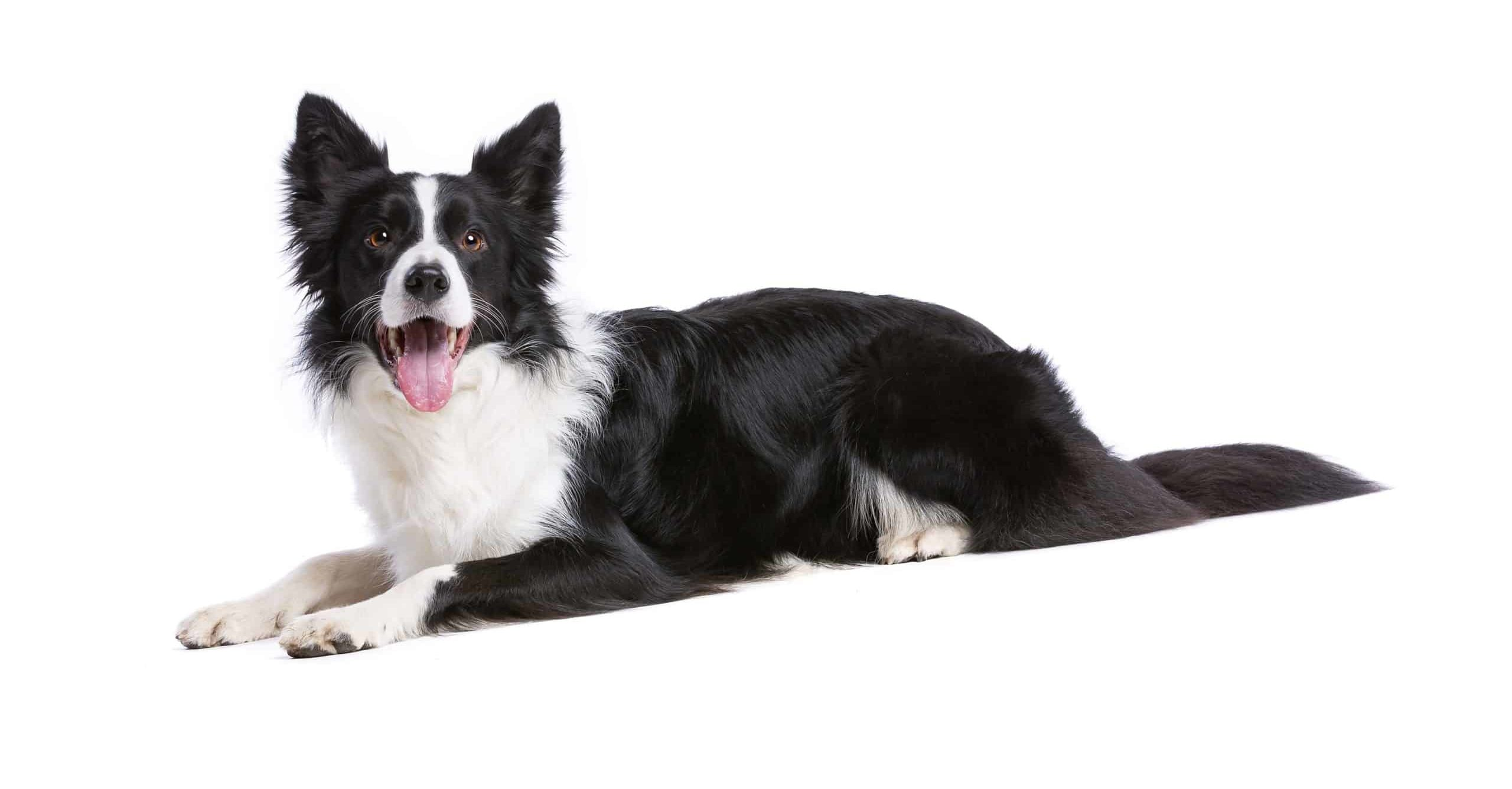 Border collie on white background. Border collies need more than a walk around the block. Multiple trips to the park and on-leash runs will tire out a non-working border collie.