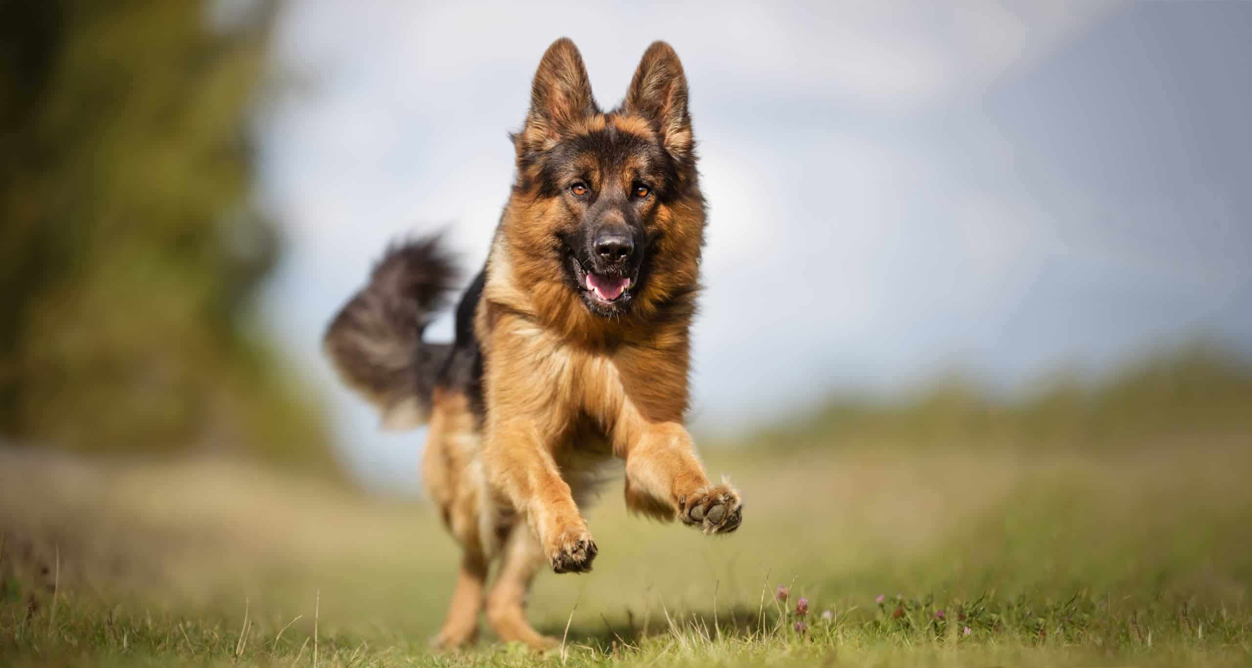 Happy German Shepherd runs outside. Breed-specific health supplements fill nutrition gaps and provide support for joints as well as promote eyesight and a lustrous coat.