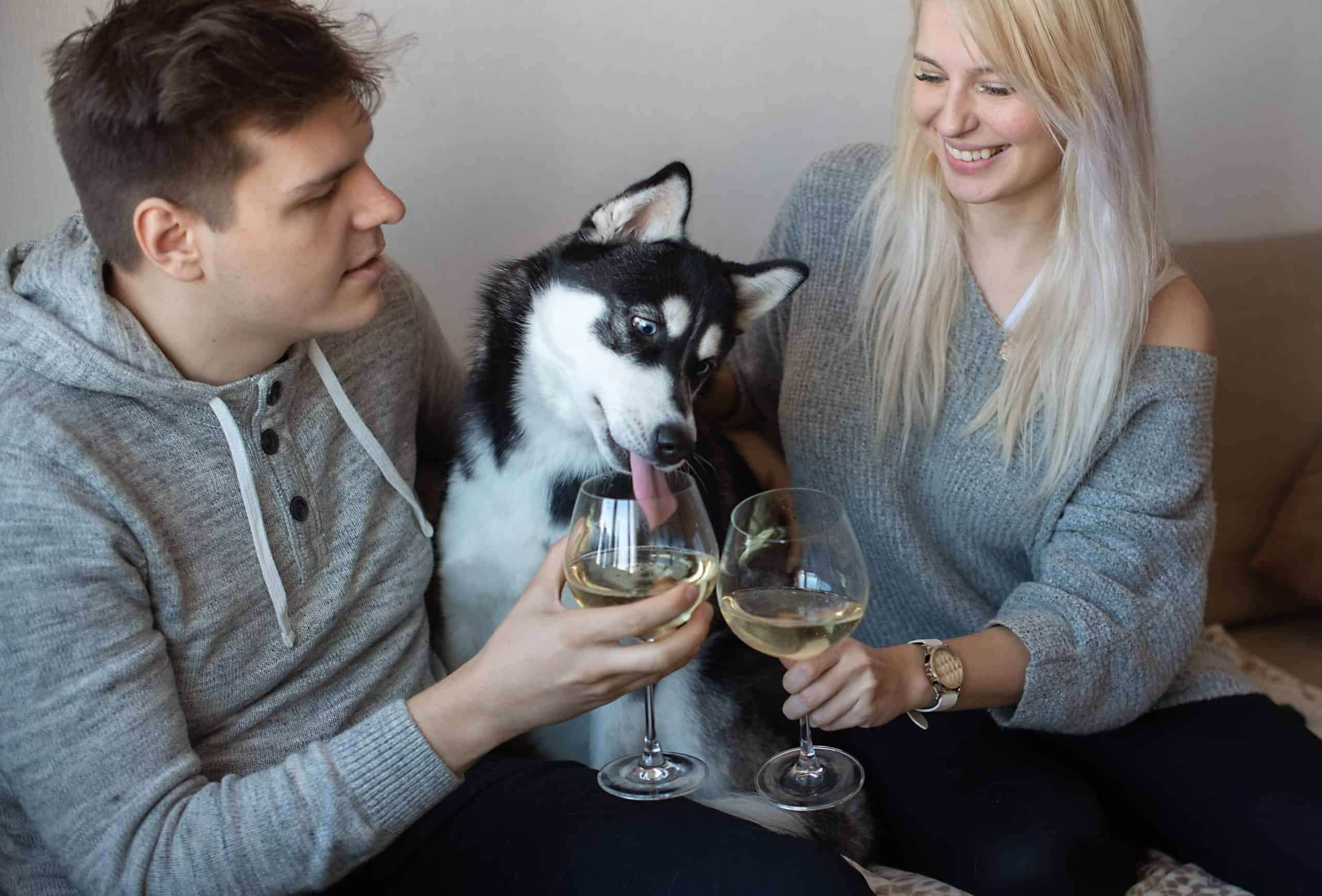 Siberian Husky tries to drink wine from his owner's glass. Dogs tend to imitate their owners so it's not unusual for your dog to develop an interest in wine merely because he's observed you enjoying the drink.