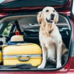 Golden retriever sits in the back of SUV packed for a dog-friendly travel adventure.