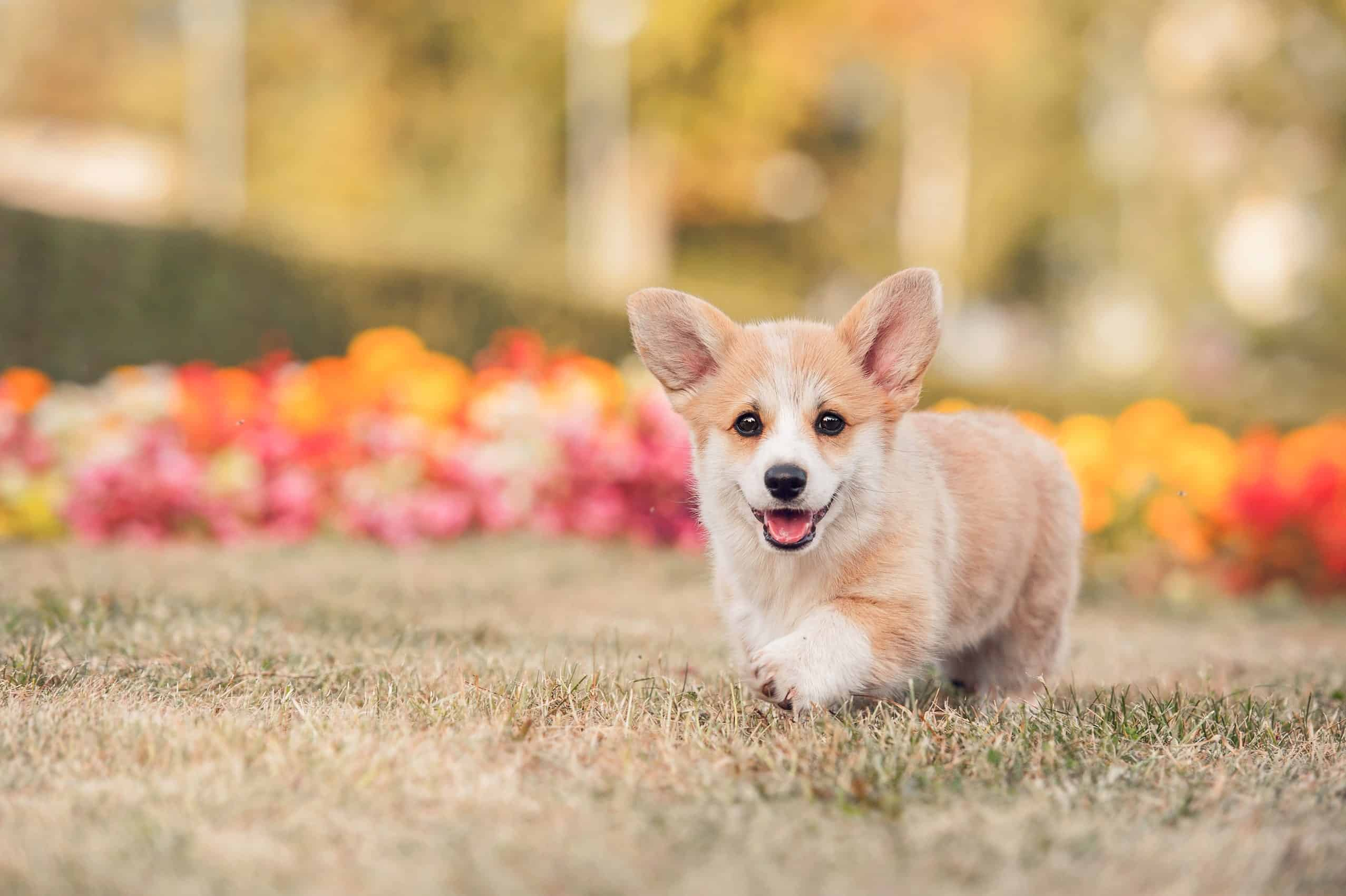 Corgi puppy plays outside. Spend extra time with your puppy. Play a game, go for a walk, anything to help your puppy burn off some extra energy. The more tiring it is for them, the better.