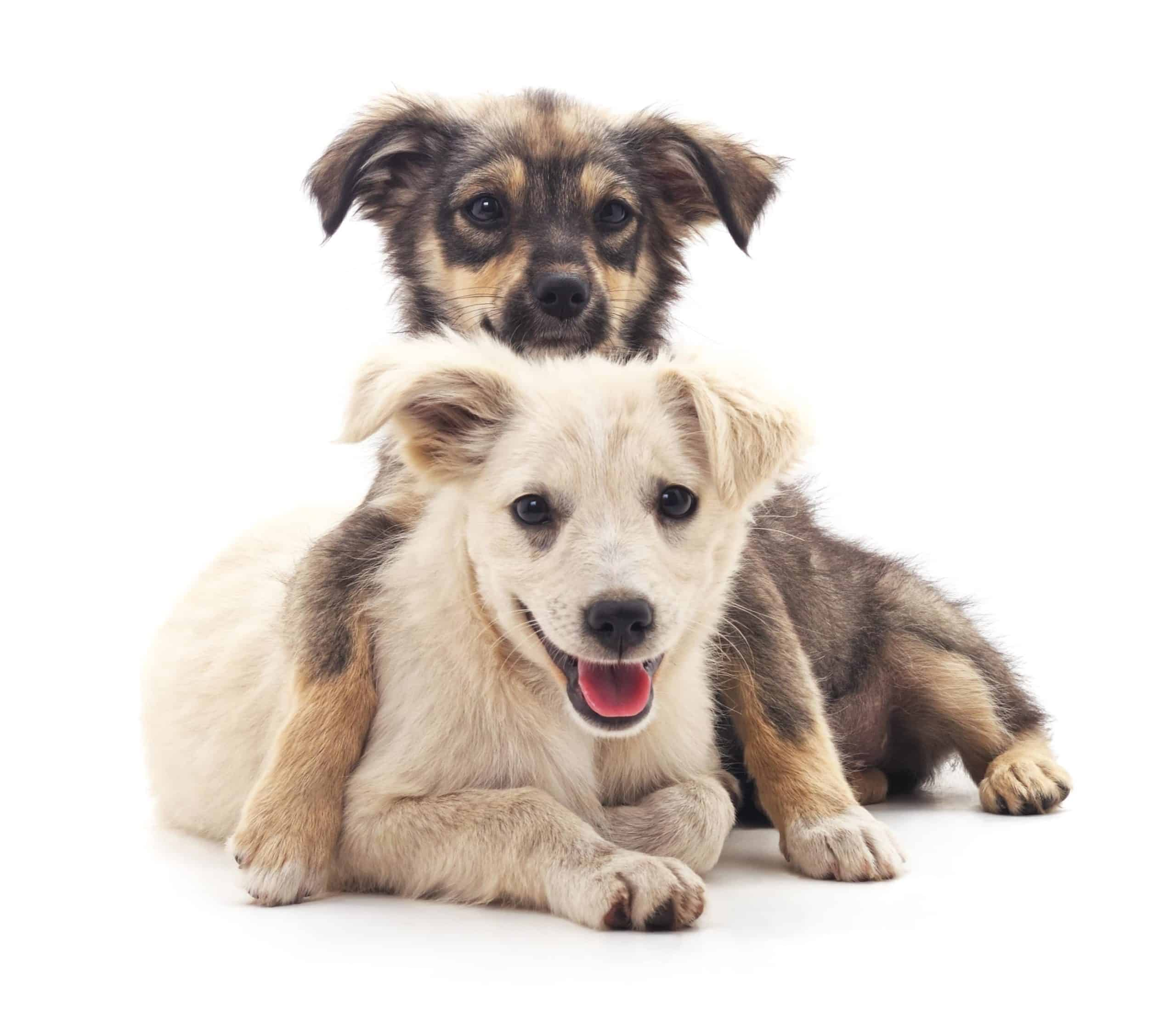 Two happy puppies on a white background. Right time to add a dog: Are you prepared to care for a pet? If you are not ready to make that commitment, you are not ready for a pet.