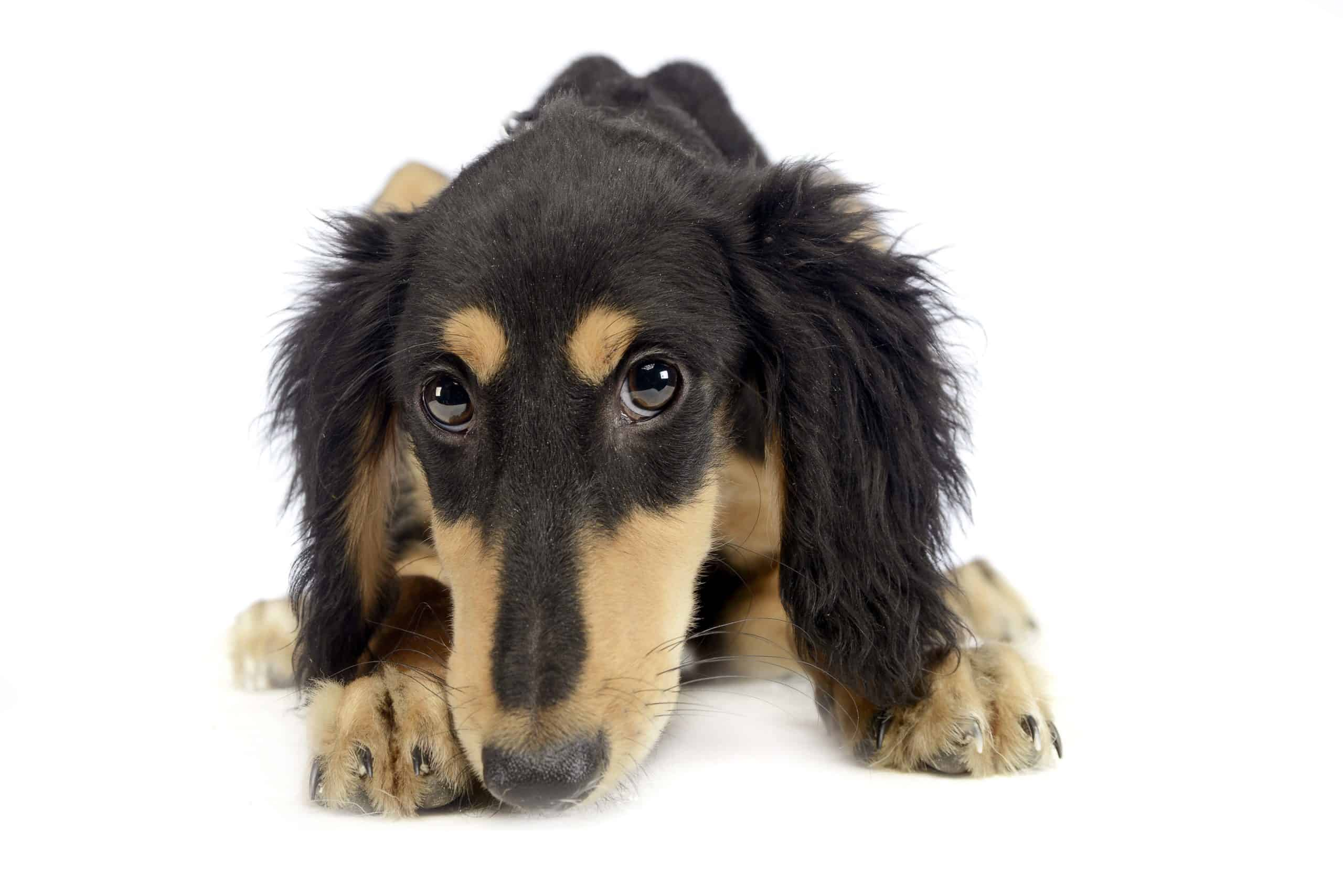 Saluki puppy on white background. The Saluki's body is finely shaped and muscular with a broad back and deeply recessed chest. There are two varieties of the Saluki, the feathered and the smooth-haired.