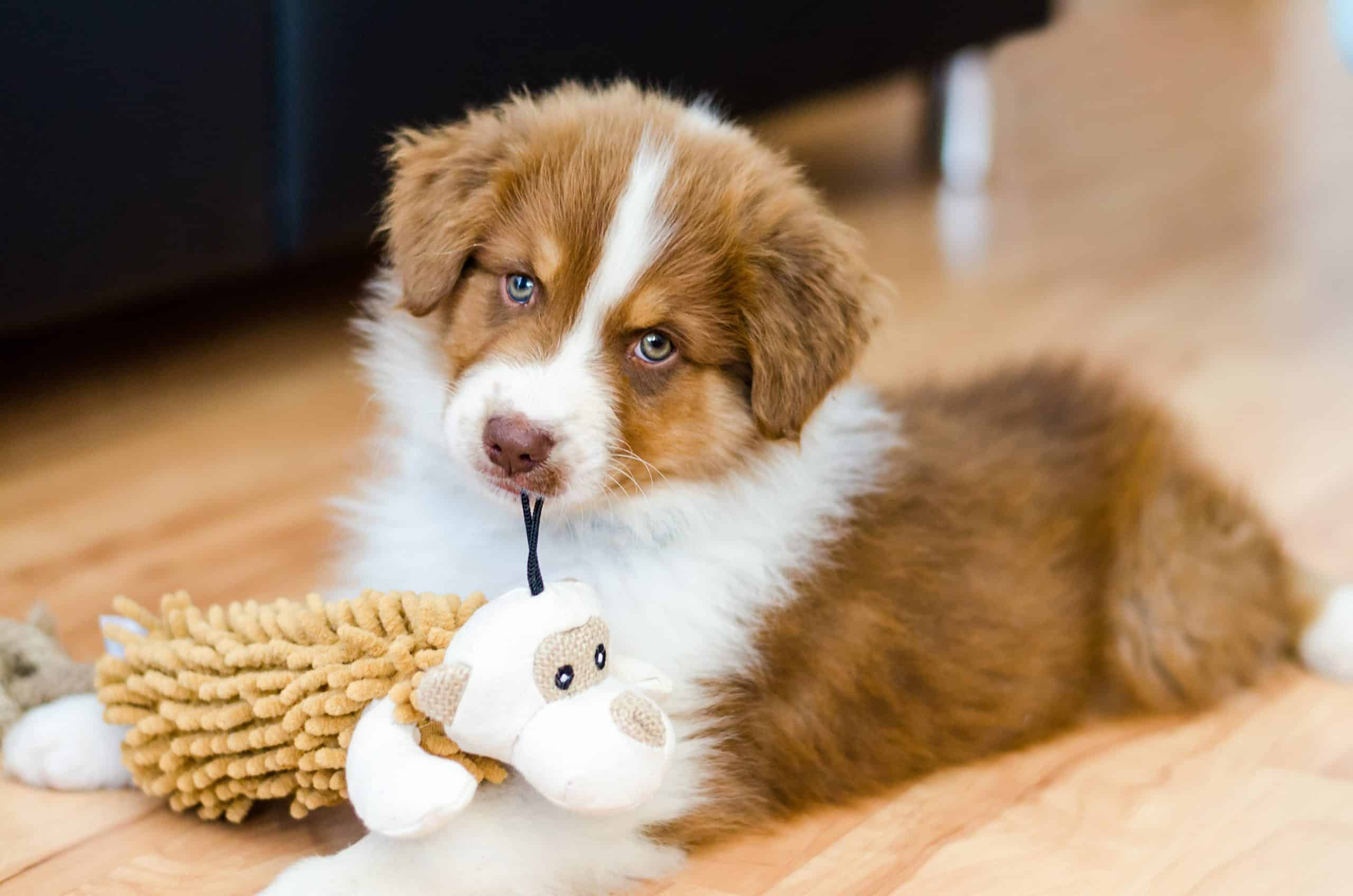 Australian shepherd puppy plays with a chew toy. Start to teach your puppy socialization skills when the puppy is 2-16 weeks.