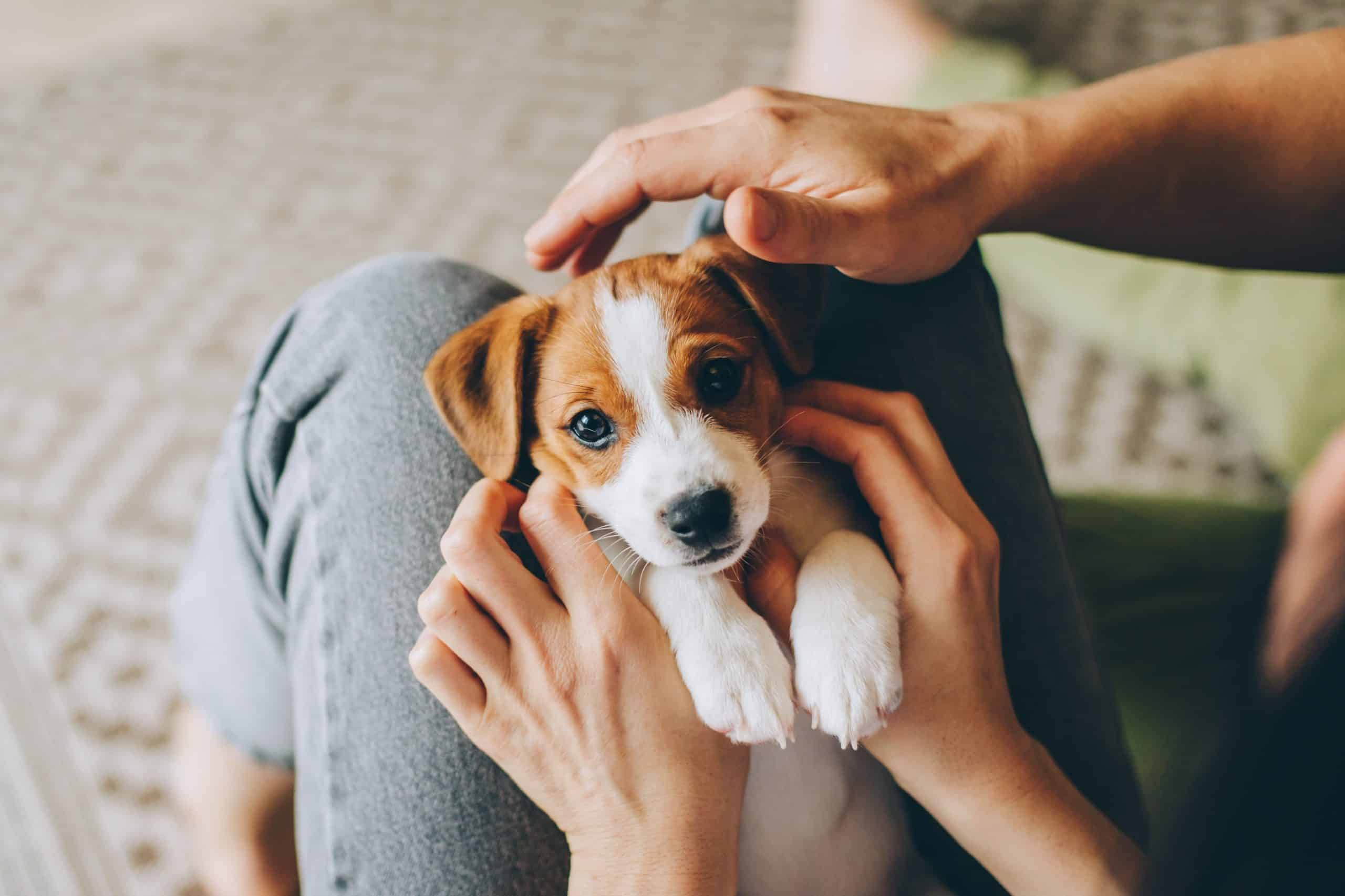 Owners cuddle with beagle puppy. It's not too early to teach your puppy. You should start training once the puppy is home.