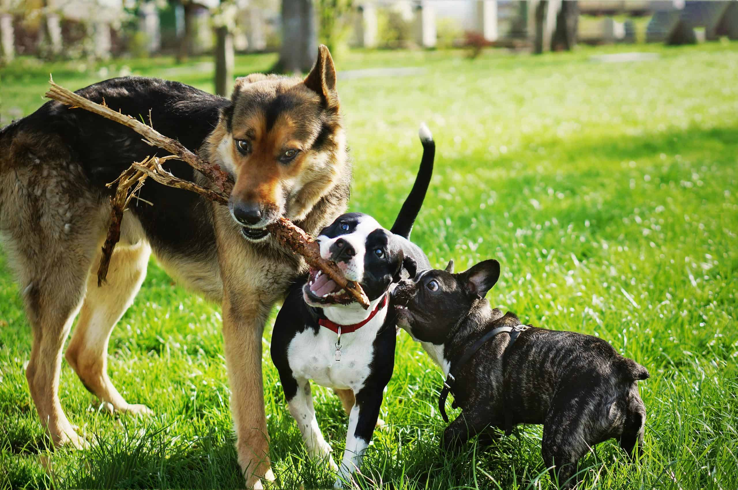 German shepherd, pitbull mix and french bulldog play with a stick. Make sure your dog is socialized and plays well with other dogs before heading to a dog park.