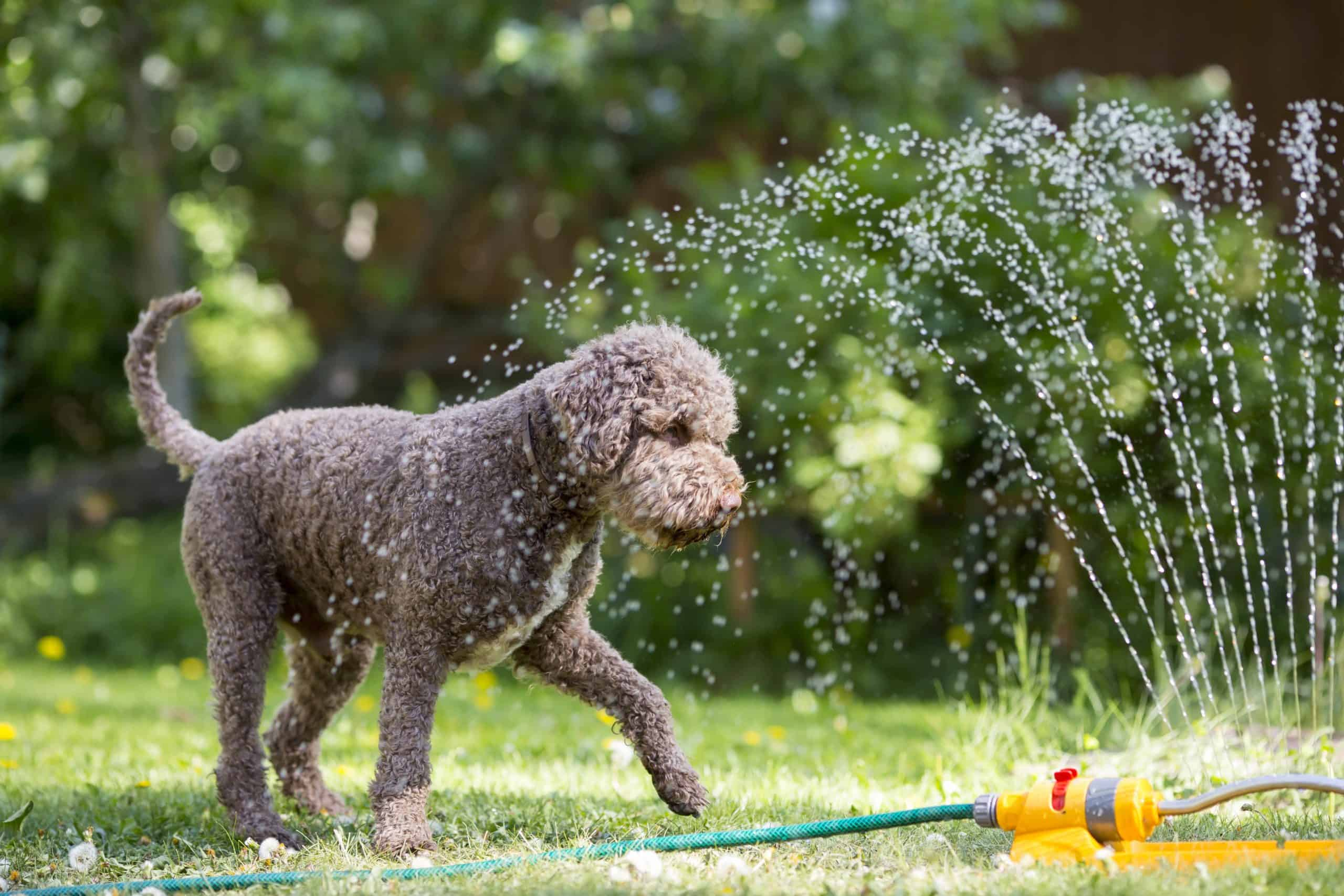 Labradoodle plays with sprinkler. Warm-weather tips: Prevent pests, help your dog lose winter weight, choose the right dog park, socialize your dog.