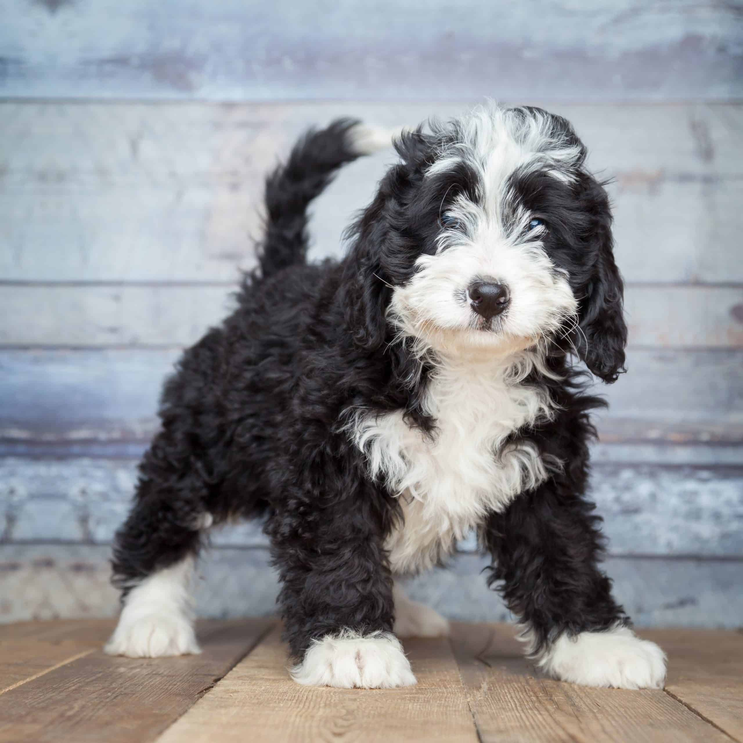 Bernedoodle puppy. Bernedoodles get their personality traits from the parent breeds.