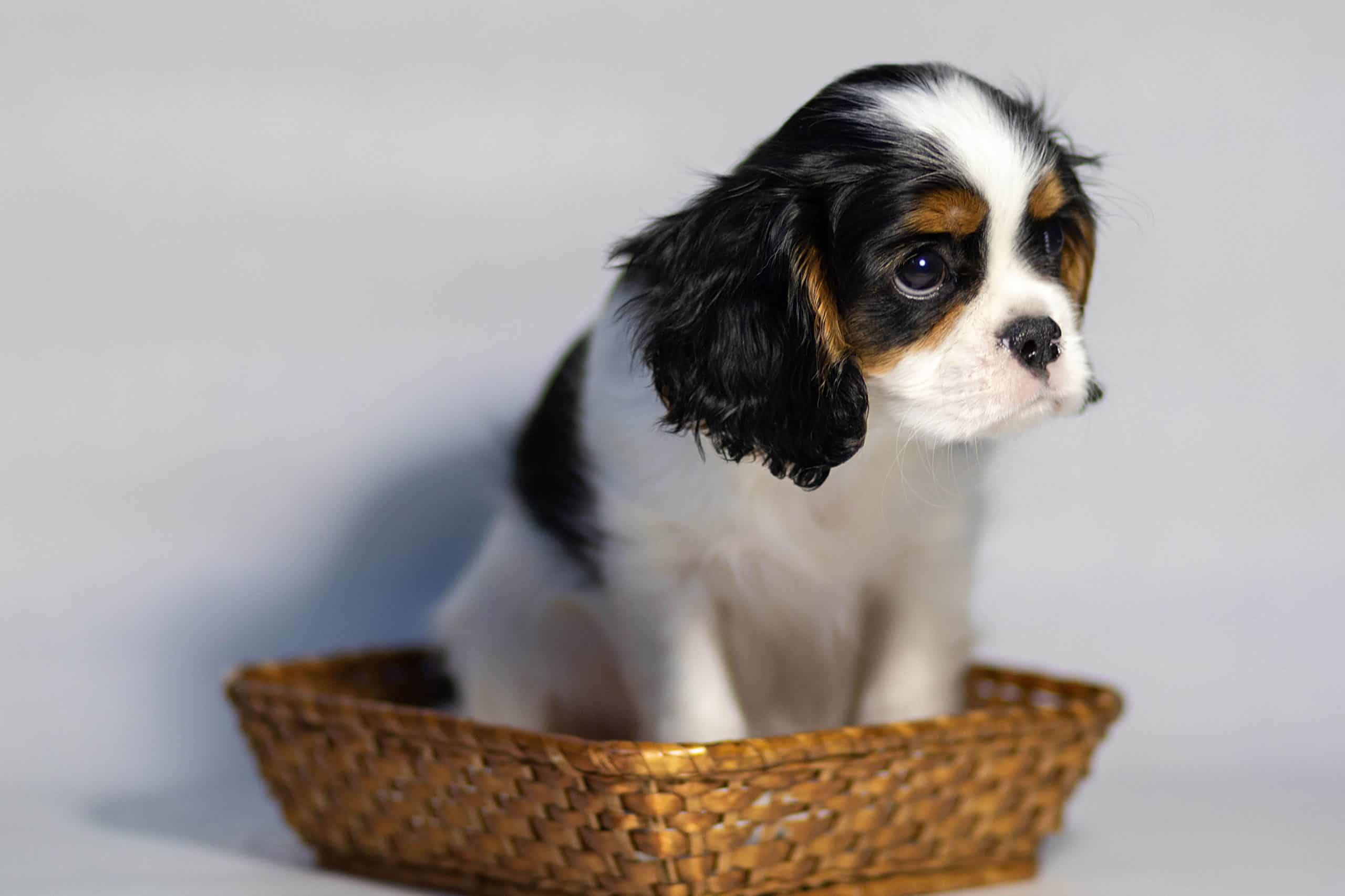 Cavalier King Charles Spaniel puppy sits in a basket.