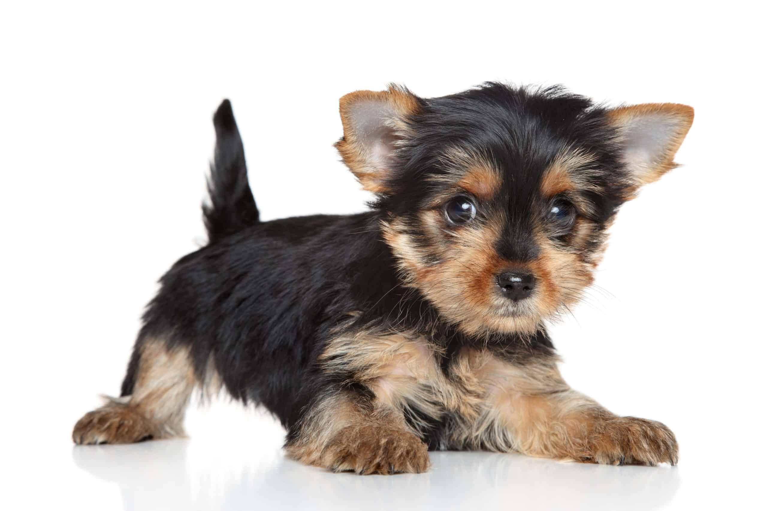 Yorkshire terrier puppy on white background. Yorkshire terriers may think they are big and scary, but in reality they are tiny and not threatening. They do, however, bark, which can alert you to intruders or other danger.