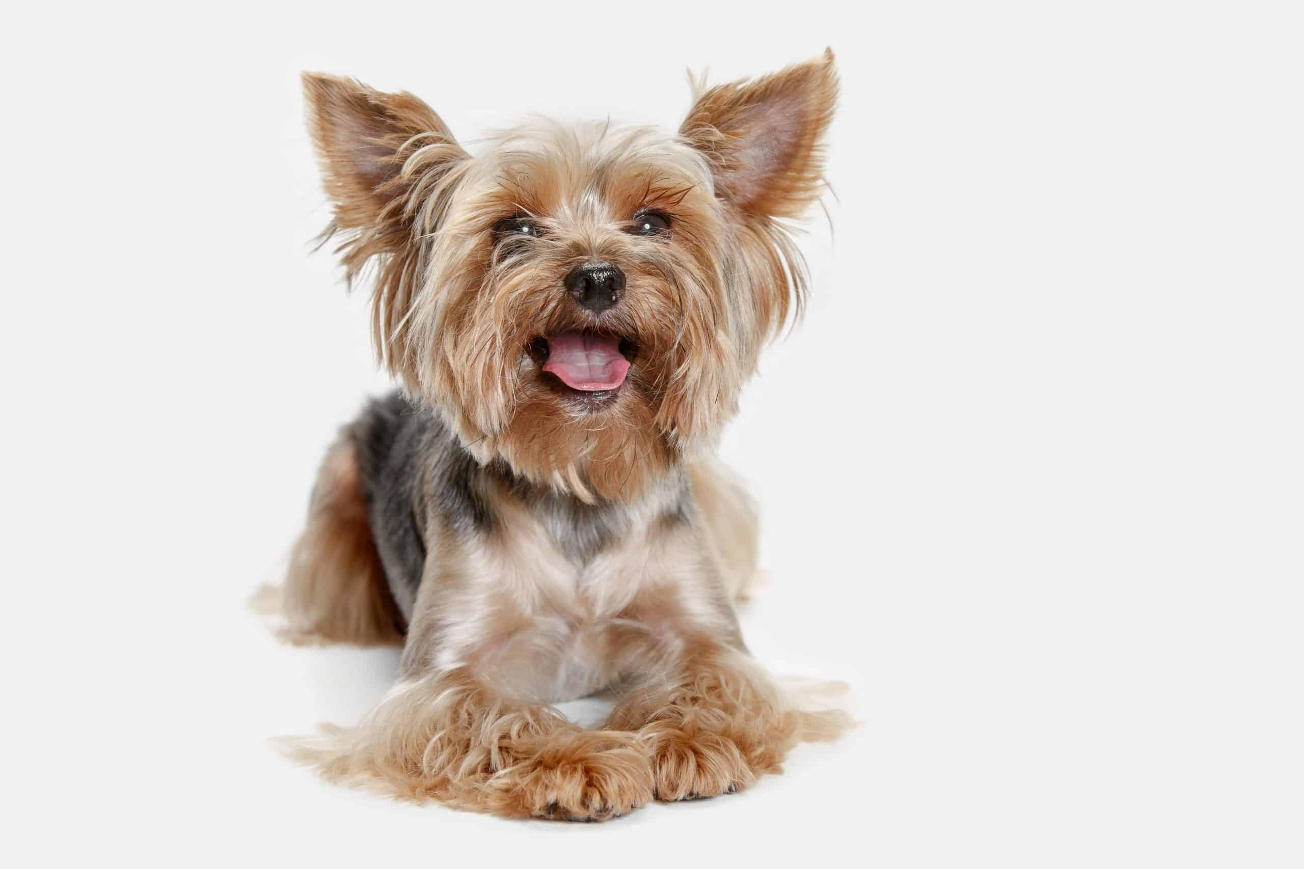 Happy Yorkshire Terrier on white background. Yorkshire terriers are beautiful, protective, loyal, compact, adaptable, and intelligent.