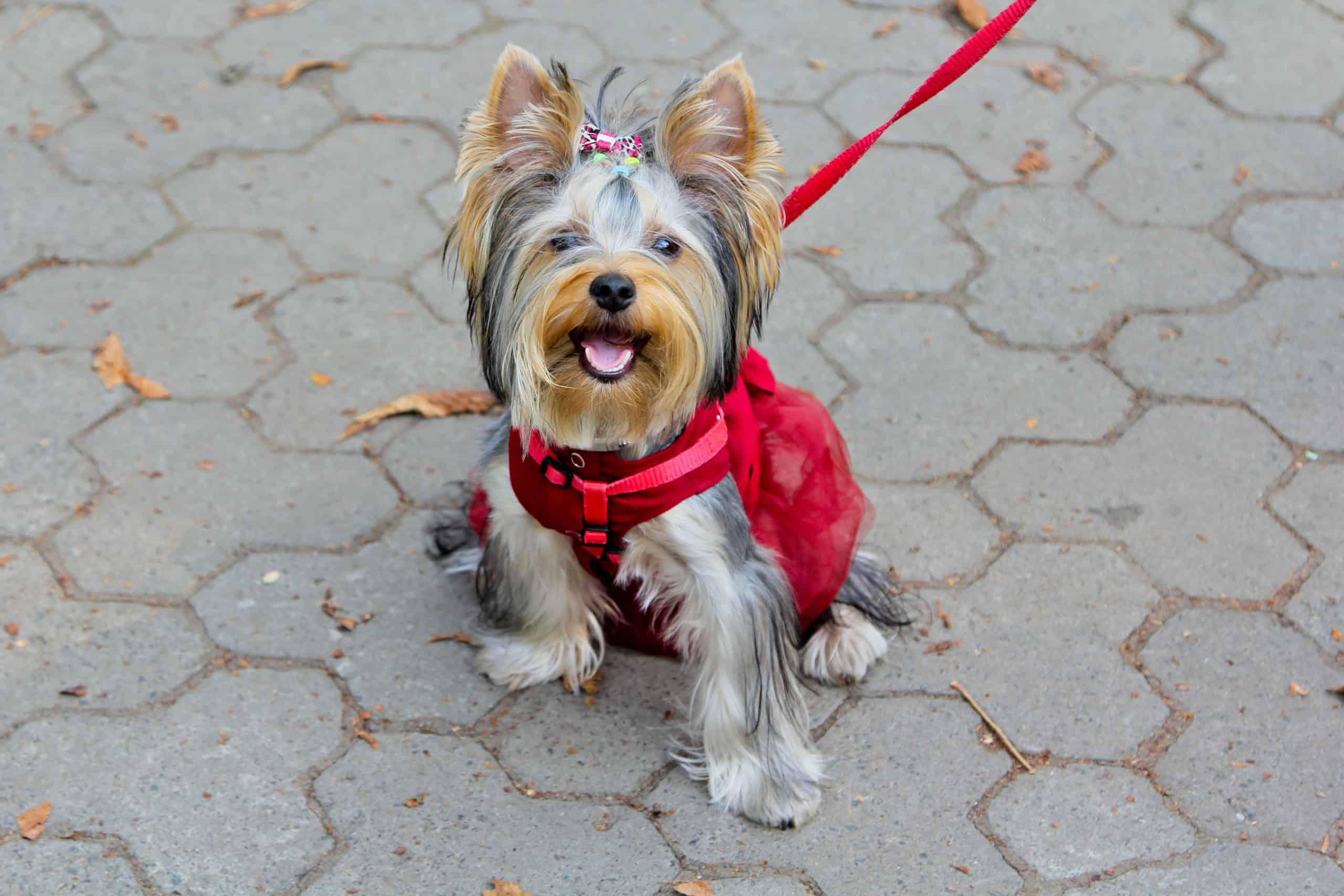 Happy Yorkshire Terrier goes for a walk. Short walks or quick play sessions keep Yorkies happy and healthy.