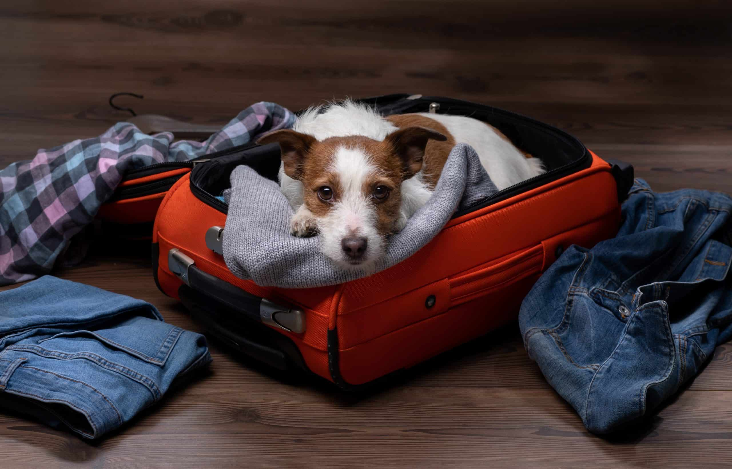 Jack Russell Terrier sits in suitcase as owner prepares for trip. When you decide whether to board your dog or use a pet sitter, consider your dog's temperament, stress level, and whether he's territorial.