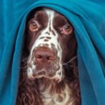 Fearful Springer Spaniel hides under a table. Calming vitamins help dogs suffering from separation anxiety or coping with fear caused by thunderstorms, fireworks, or trips to the vet.