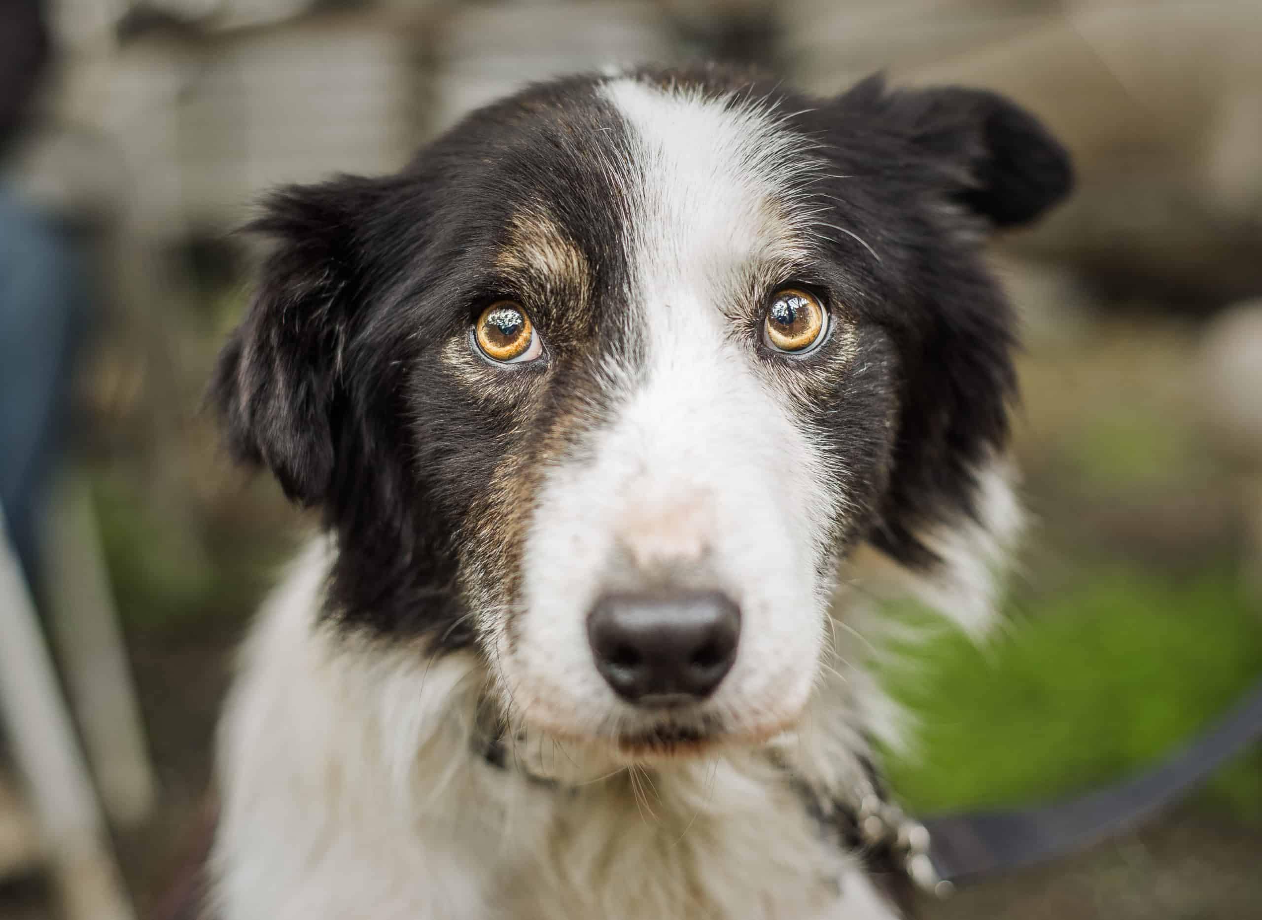 Nervous border collie. To help manage canine anxiety identify triggers, create a routine, use exercise, and consider trying CBD supplements.