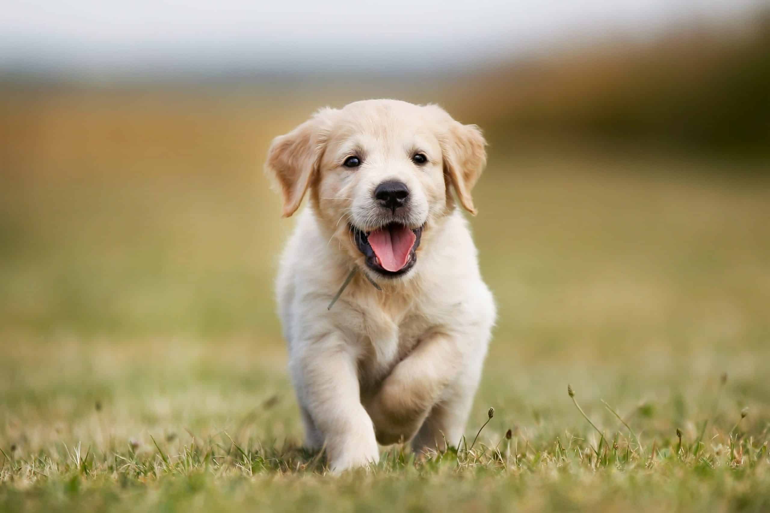 Care for golden retrievers: Provide healthy diet, exercise, training