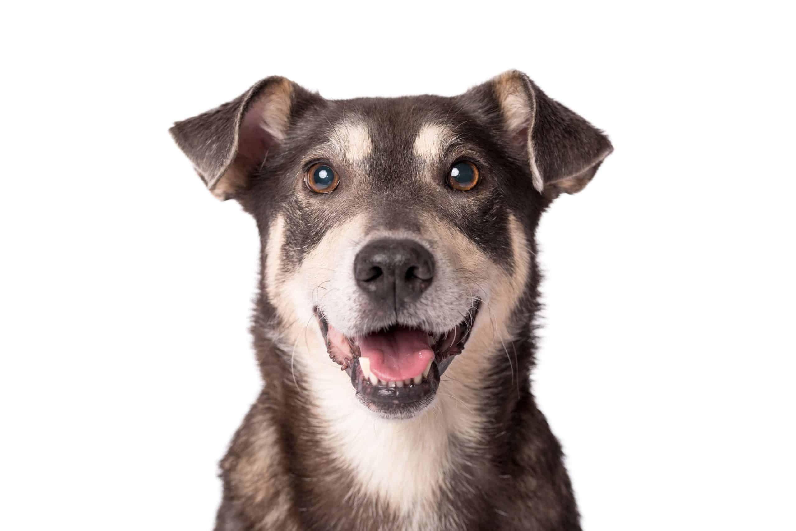 Happy dog on white background.