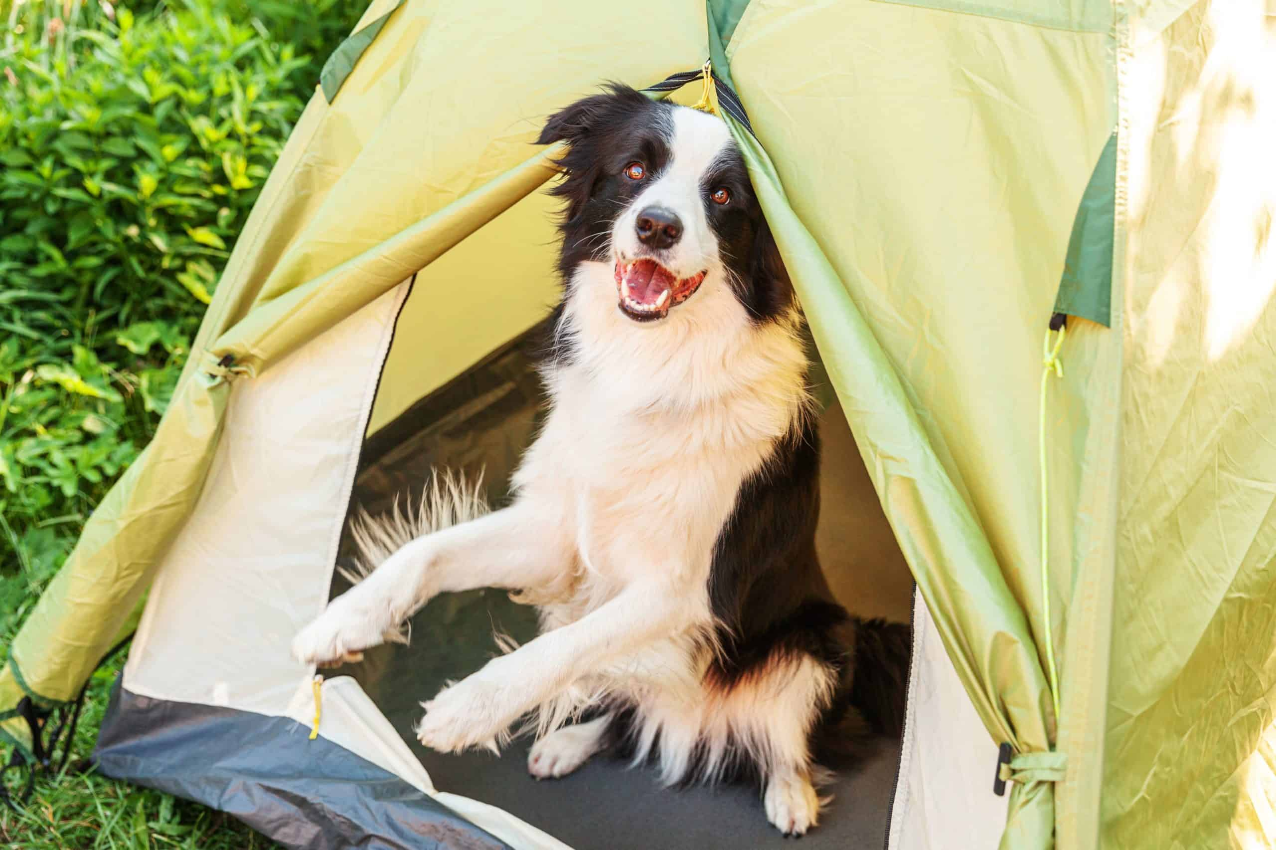 Border collie sits in a tent. The best dog breeds for camping combine high energy with obedience and curiosity. Bonus for smaller dogs that fit comfortably in your tent.