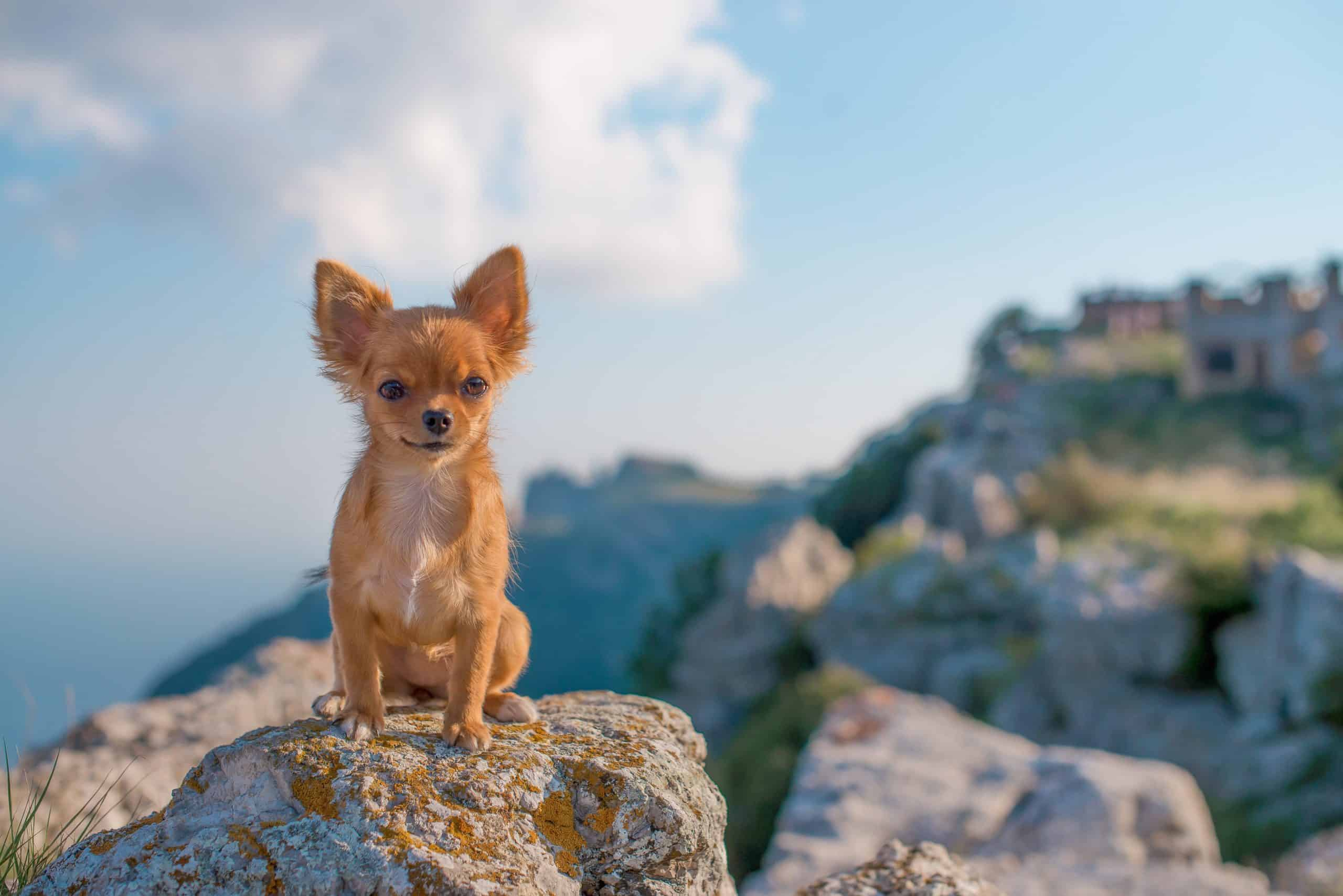 Chihuahua sits on rocks near camp site. Small dogs like Chihuahuas may get exhausted halfway through a hike. But because they are small, you can just zip them into the front of your coat and give them a lift the rest of the way.
