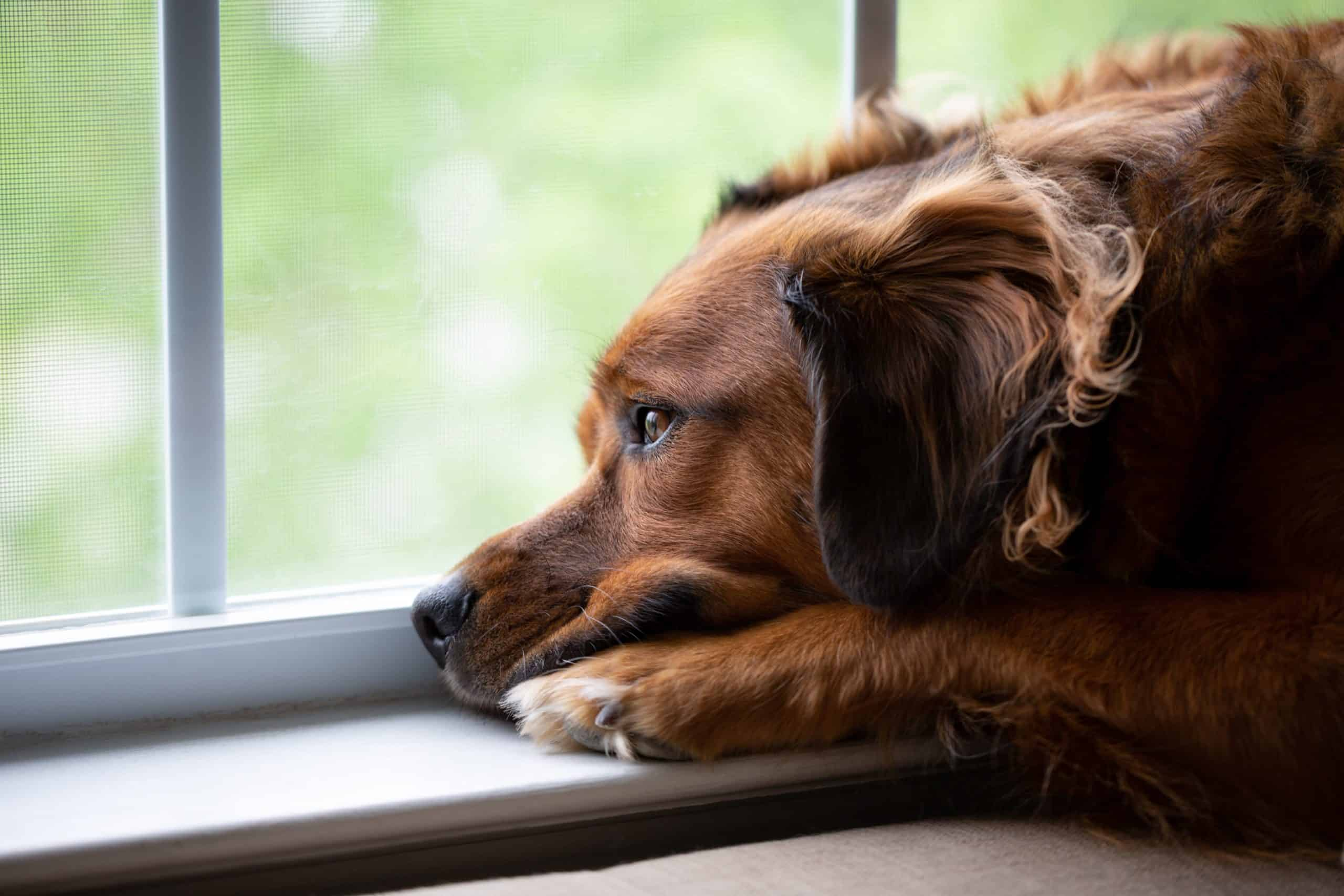 Depressed dog looks out window. Give dogs CBD oil for depression to help relax an agitated dog, ease severe fears, comfort a dog with separation trauma, or mitigate pain.