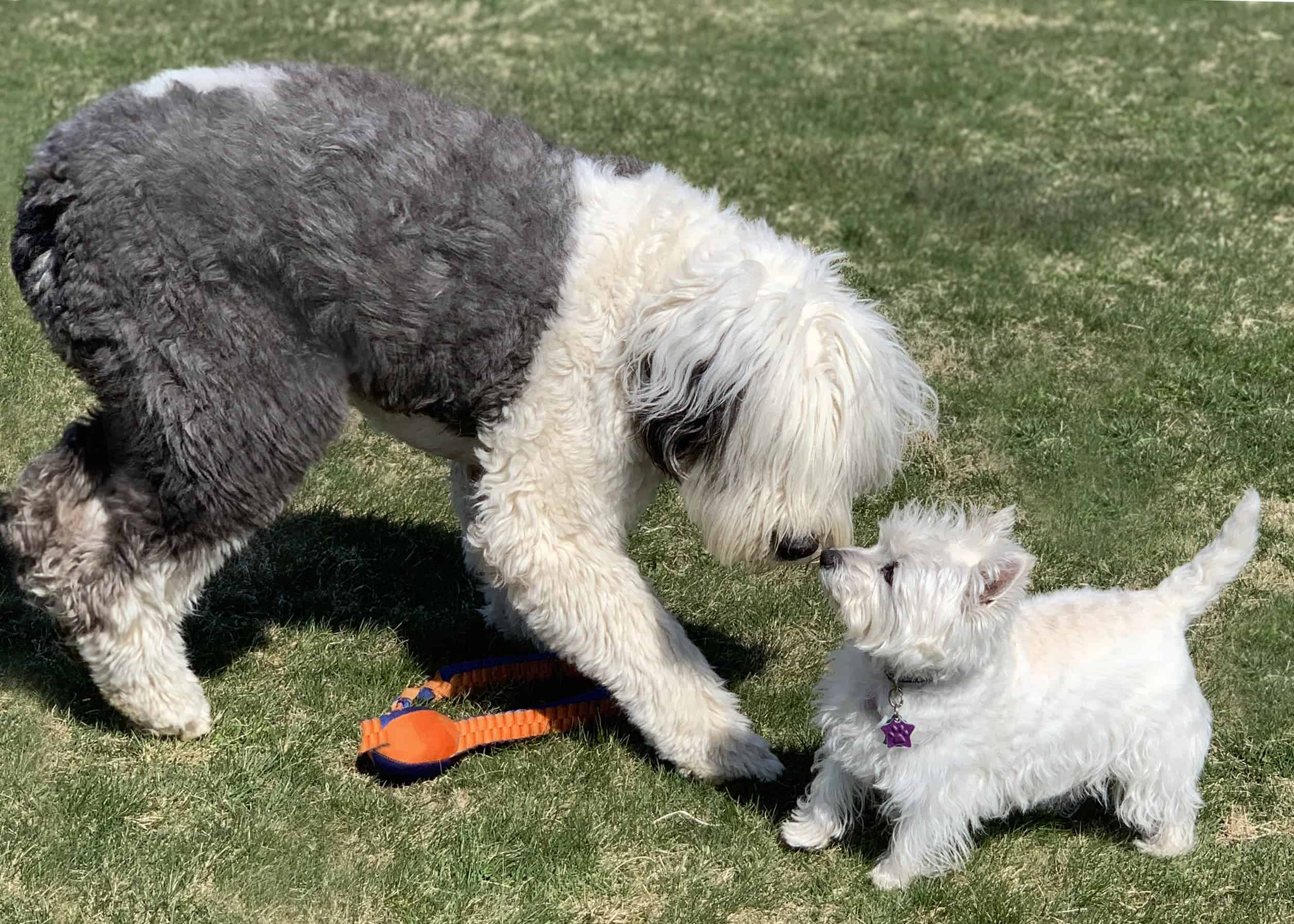 Sheepdog plays with Westie. The number one component of dog playdates is to gain trust, not only in both dogs but the owner as well.
