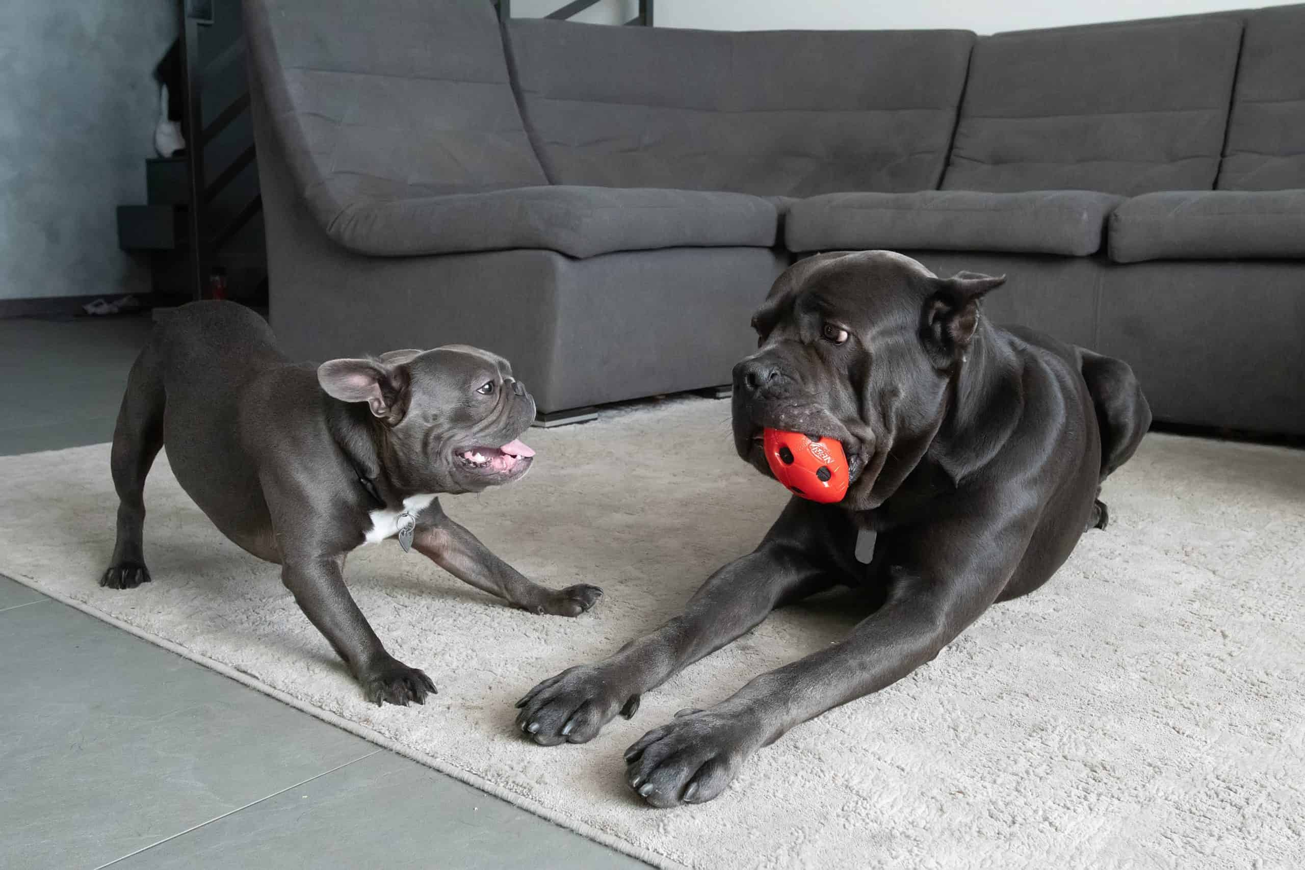 French bulldog plays with Mastiff. Small precautions can be easy to forget, but it's necessary to ensure safe and fun playdates for your dog.