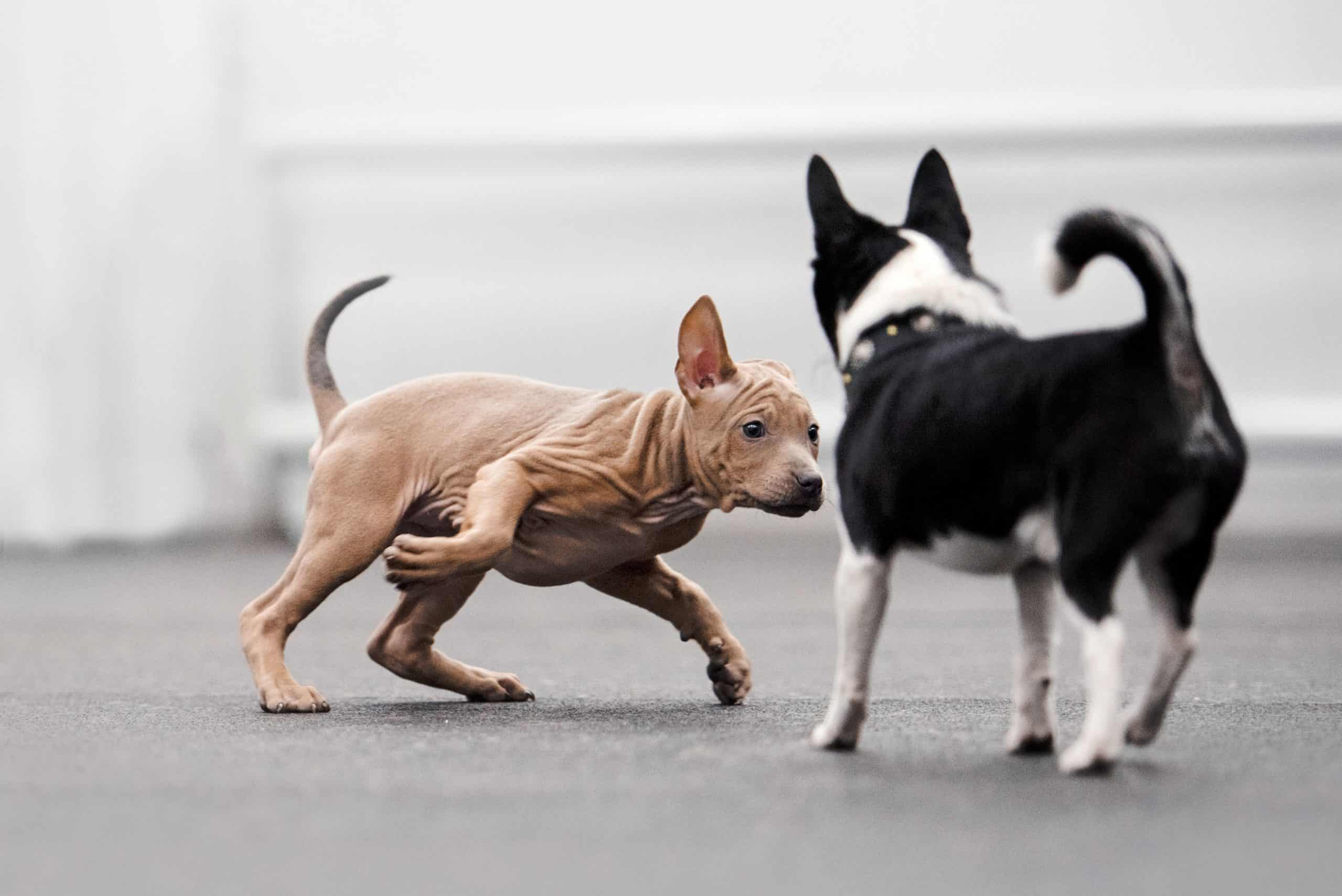 A Xoloitzcuintili puppy plays with a Border Collie puppy. Dog playdates are a great way to bond with your dog and give her opportunities to socialize with other dogs.