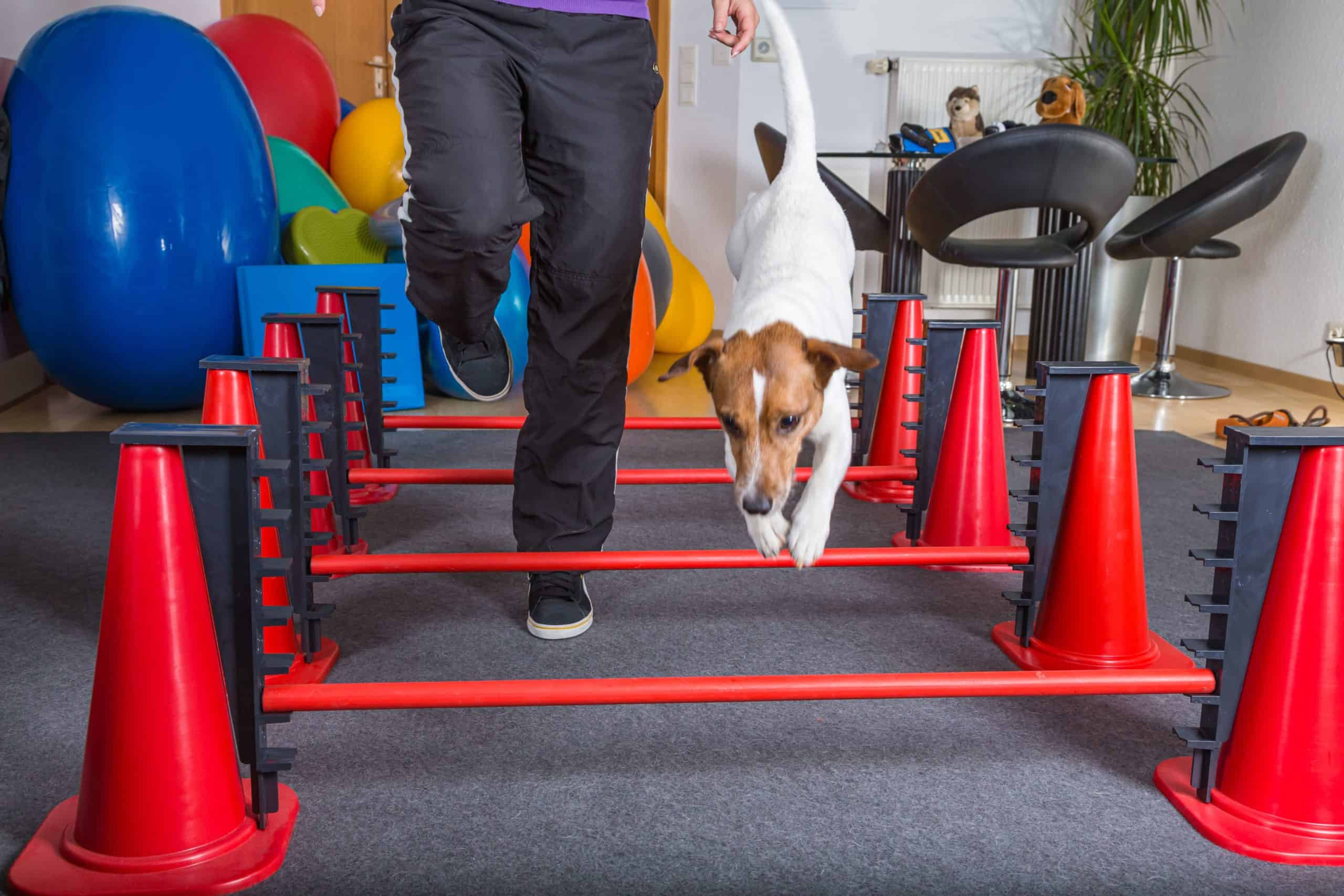 Dog agility exercise.