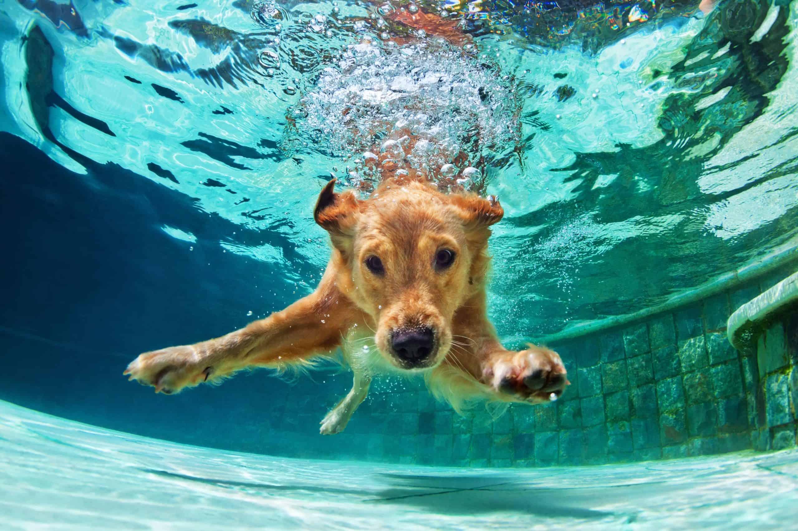 Labrador retriever swims underwater.