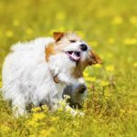 Itchy dog scratches while out in field. Flea medicines for dogs include pills, collars, and shampoos.