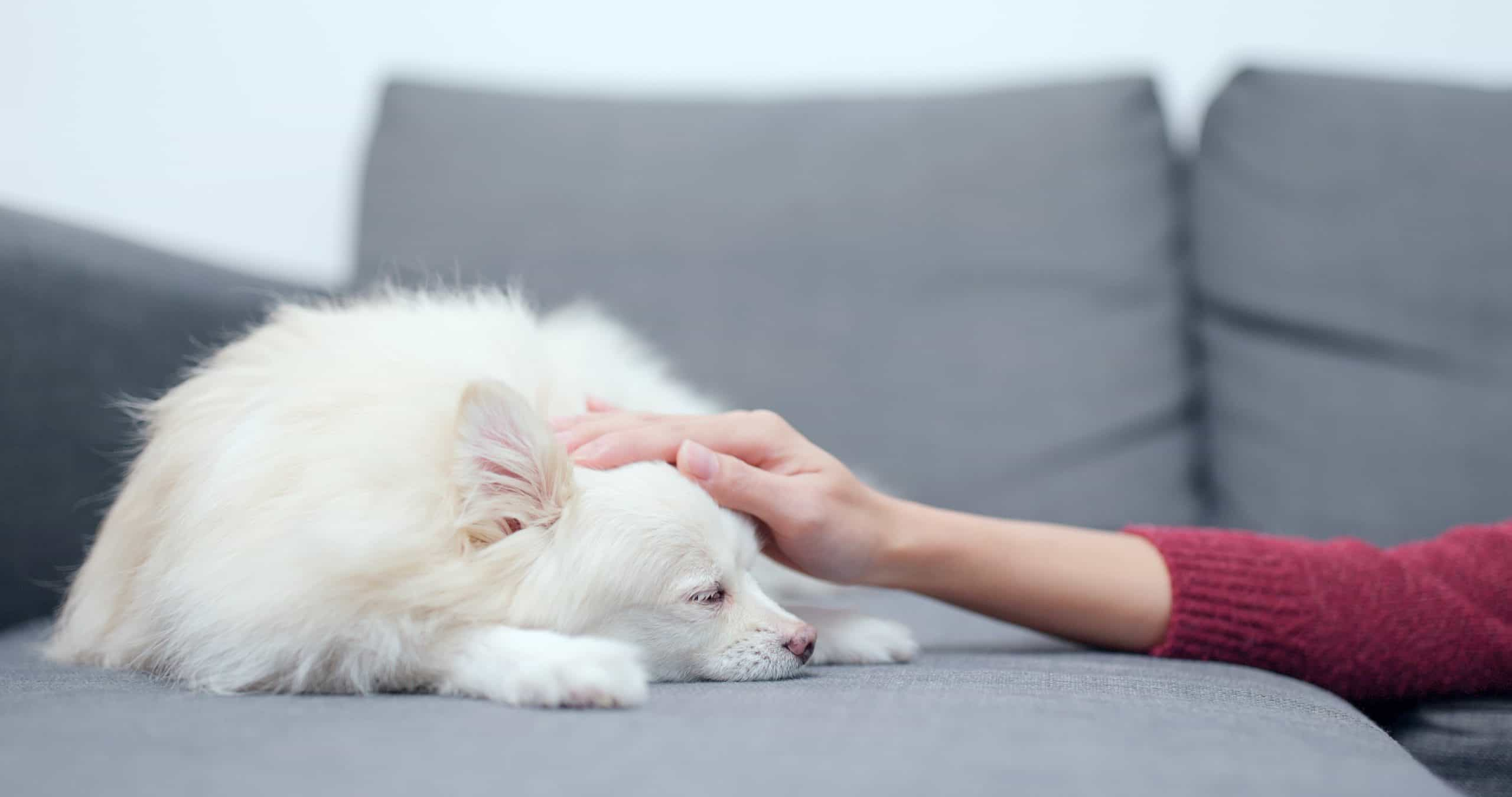 Woman pets sick chihuahua. Even after you find the most nutritious food for your pet, you may still face the challenge of getting a dog to eat.