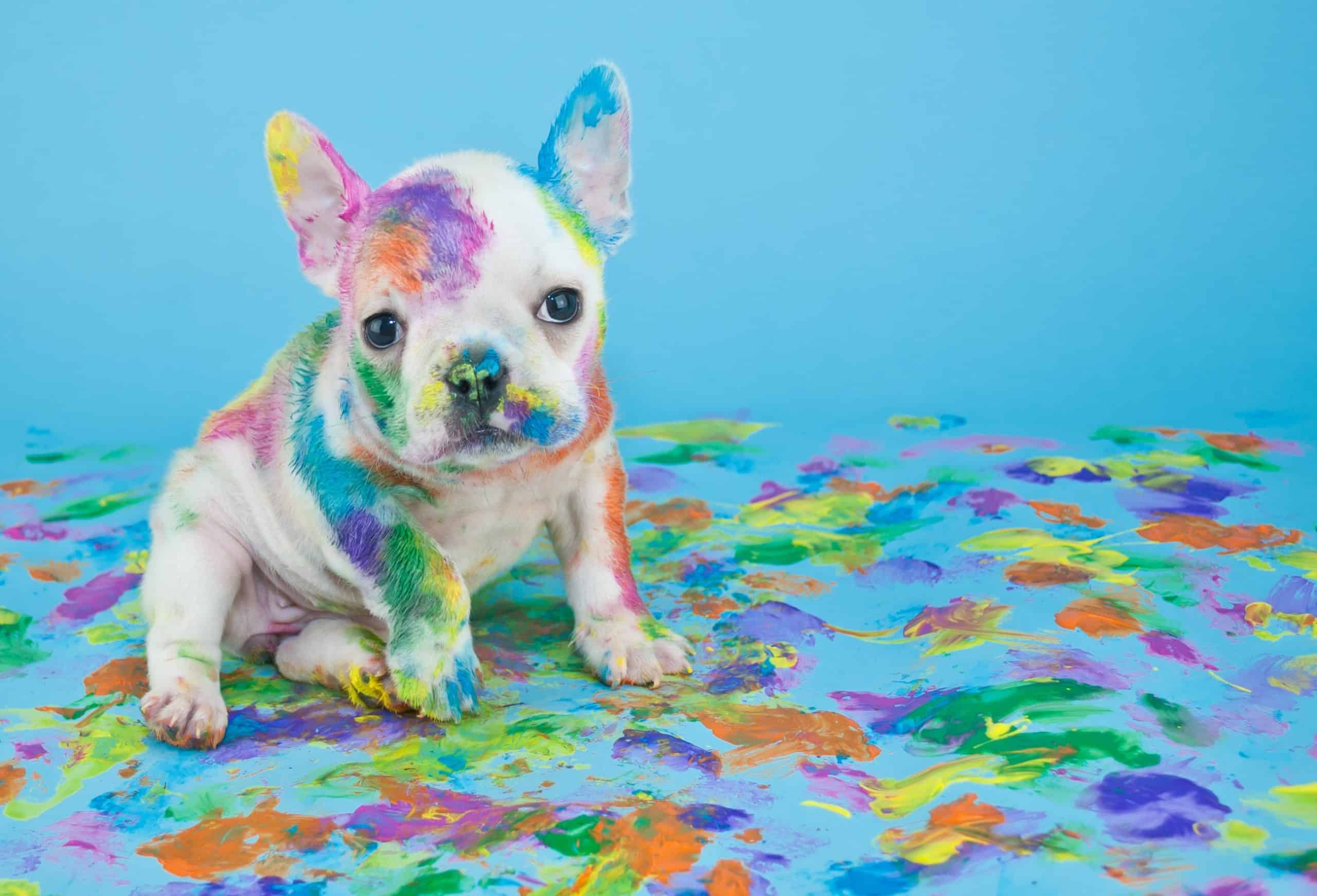 French bulldog puppy covered in bright paint. Keep your dog away from pandemic poison dangers including yeast, bread, coffee, wine, paint, and marijuana.