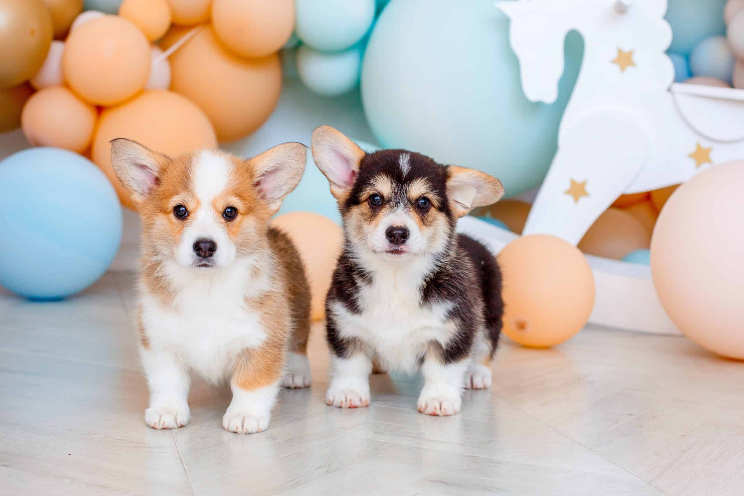 Pair of Pembroke Welsh Corgi puppies pose in photo studio. Pet portrait styles include modern, cartoons, and photography.