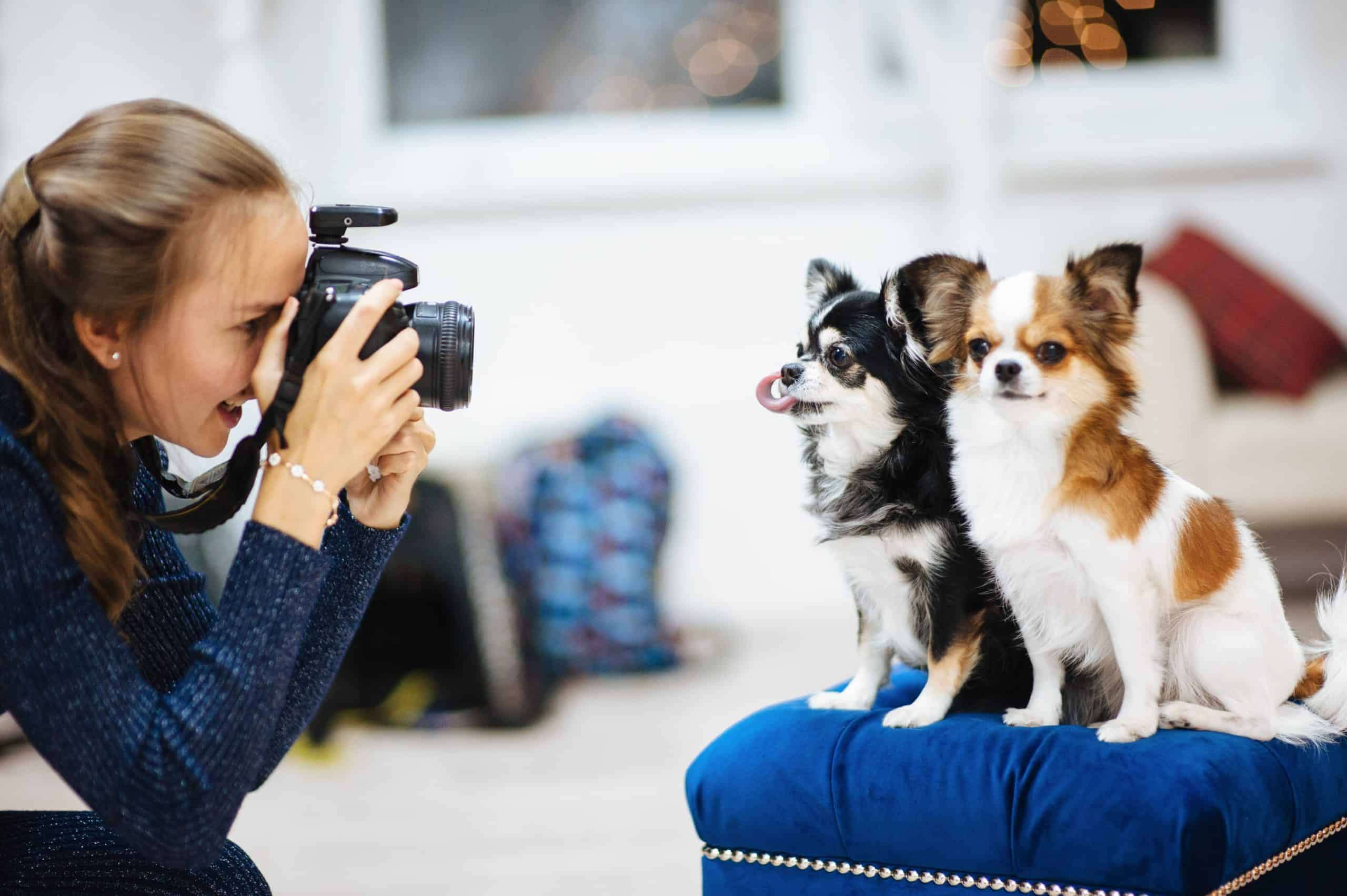 Female photographer shoots images of Papillions in a photo studio. Ask for recommendations to find the best pet portraits websites.