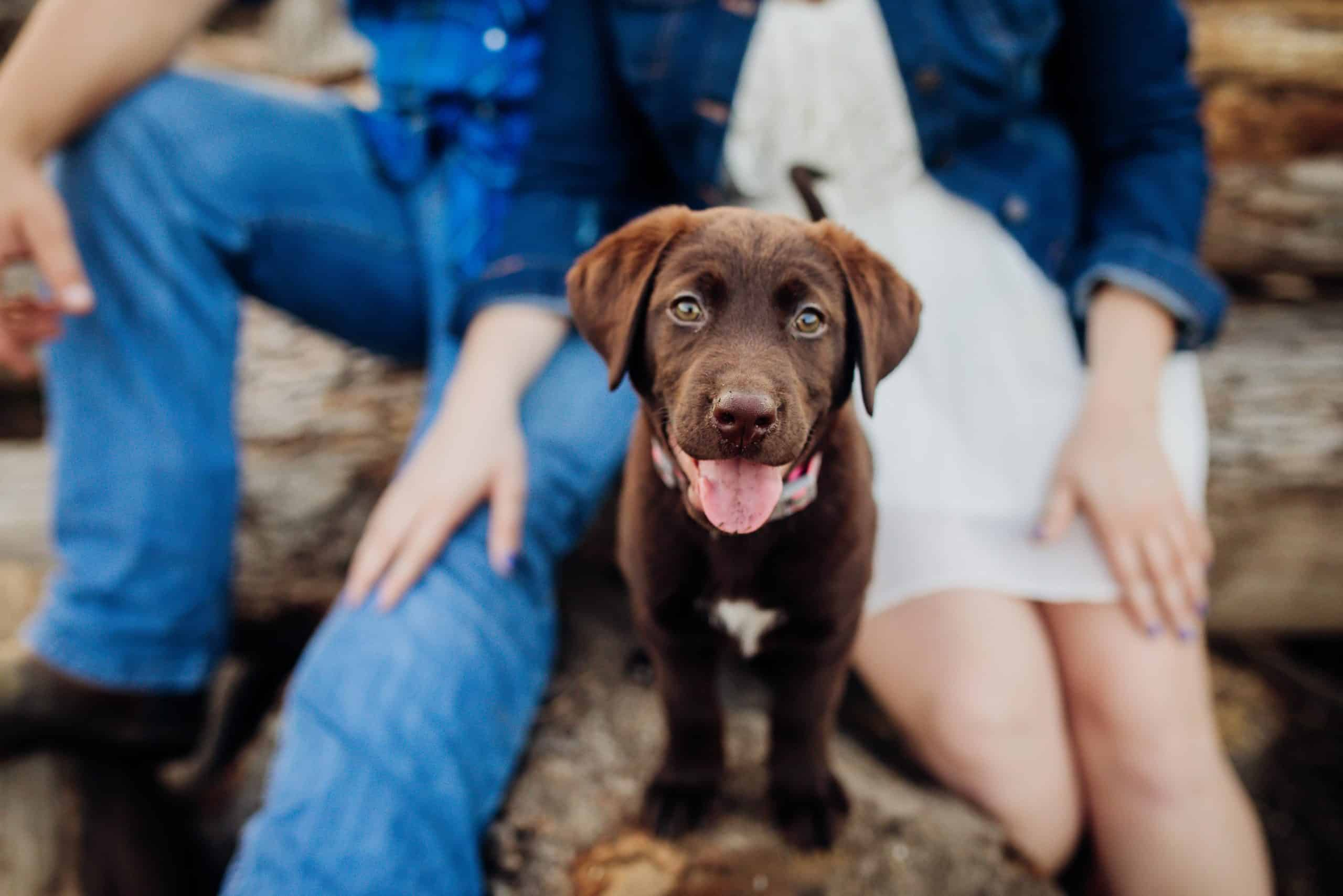 Chocolate Labrador Retriever puppy sits with his pet parents. When you're looking for a puppy to adopt, one of the best places to start your search is at local shelters and pet rescues.
