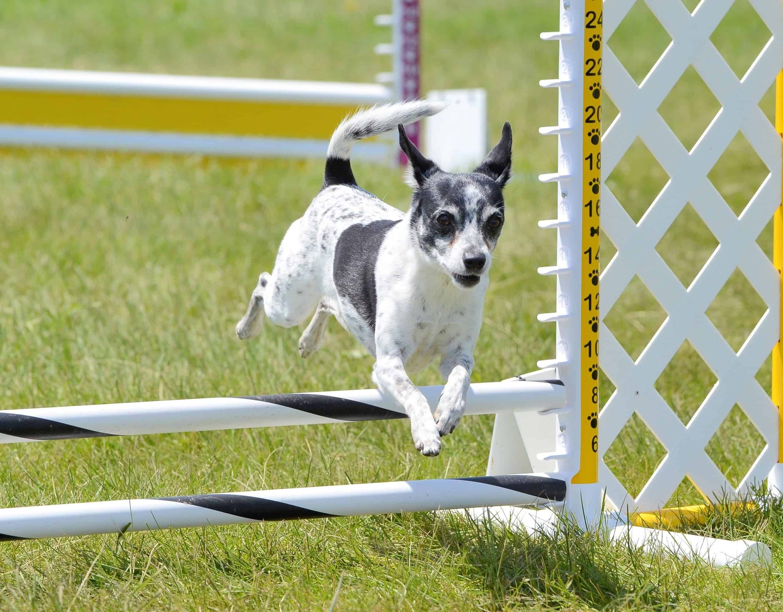 Rat terrier competes in agility.