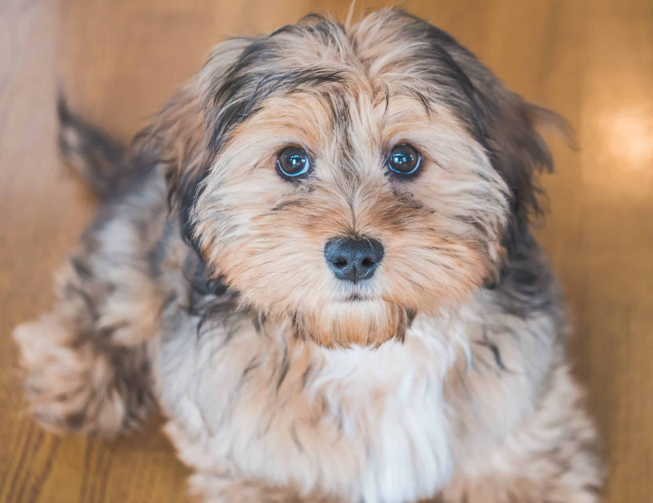 The Shih-Poo gives you the best of the Shih-Tzu and Poodle. The dogs can be stubborn and fearful. But they also are smart, sweet, and cuddly.