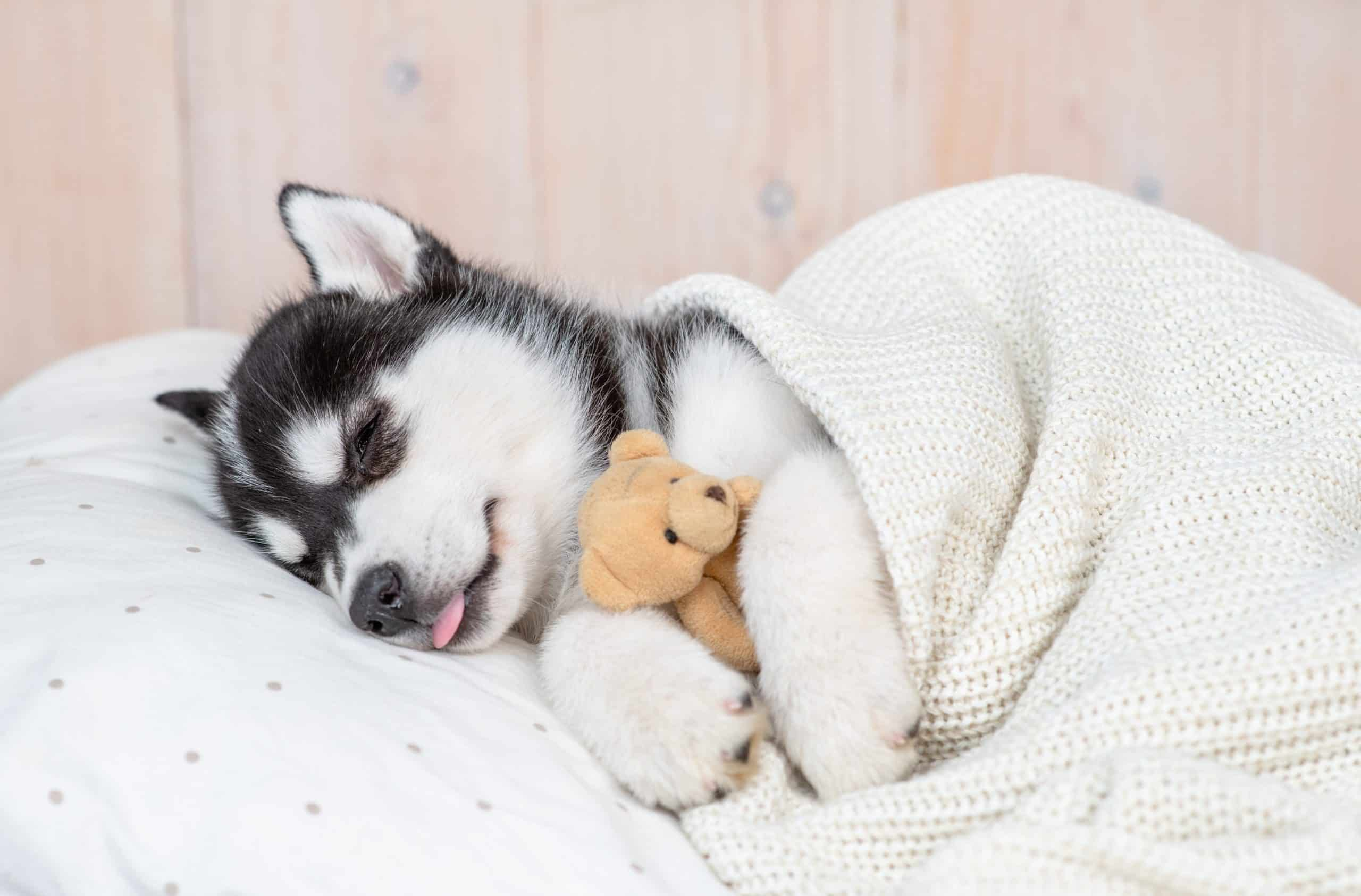 Husky puppy snuggles with a toy bear. Using a sleep schedule will help your puppy. The routine will make potty training easier and help your puppy adjust to a new home.