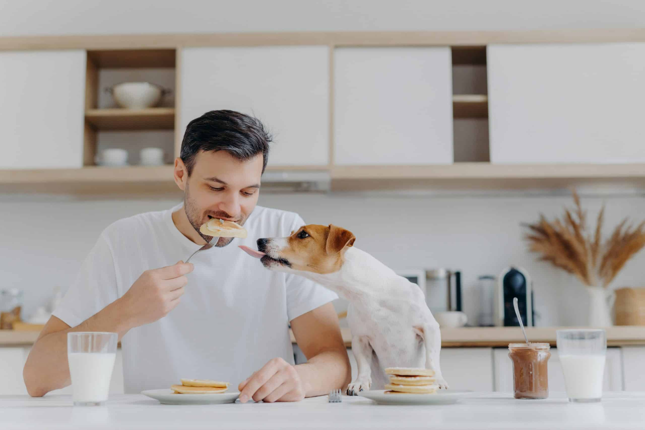 Man eats breakfast with his Jack Russell Terrier. Dogs gained weight during the pandemic as their owners fed them more treats while giving them less exercise.