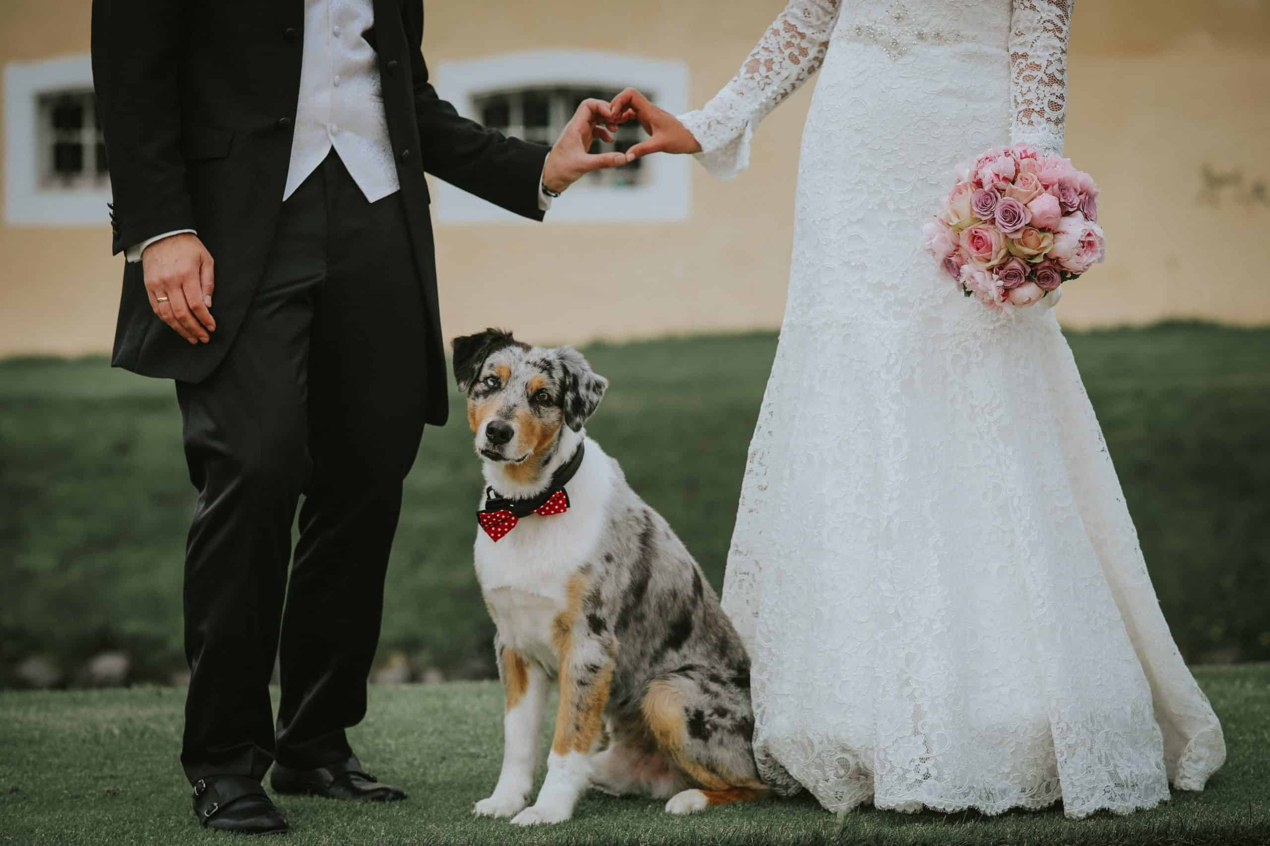 Australian shepherd sits between bride and groom on their wedding day. Traditionalwedding roles for dogs include ring bearer, best pooch, or pooch of honor.