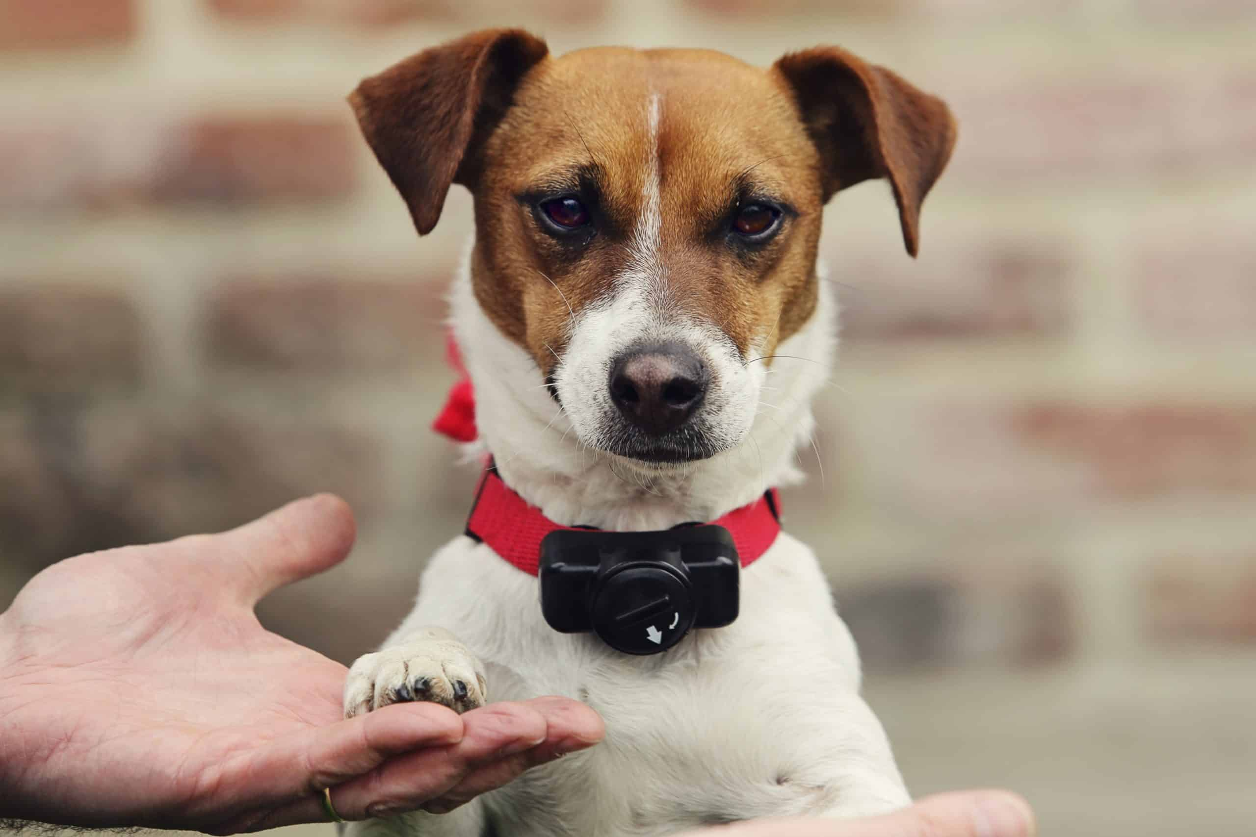 Jack Russell terrier wears collar for a wireless electric dog fence.