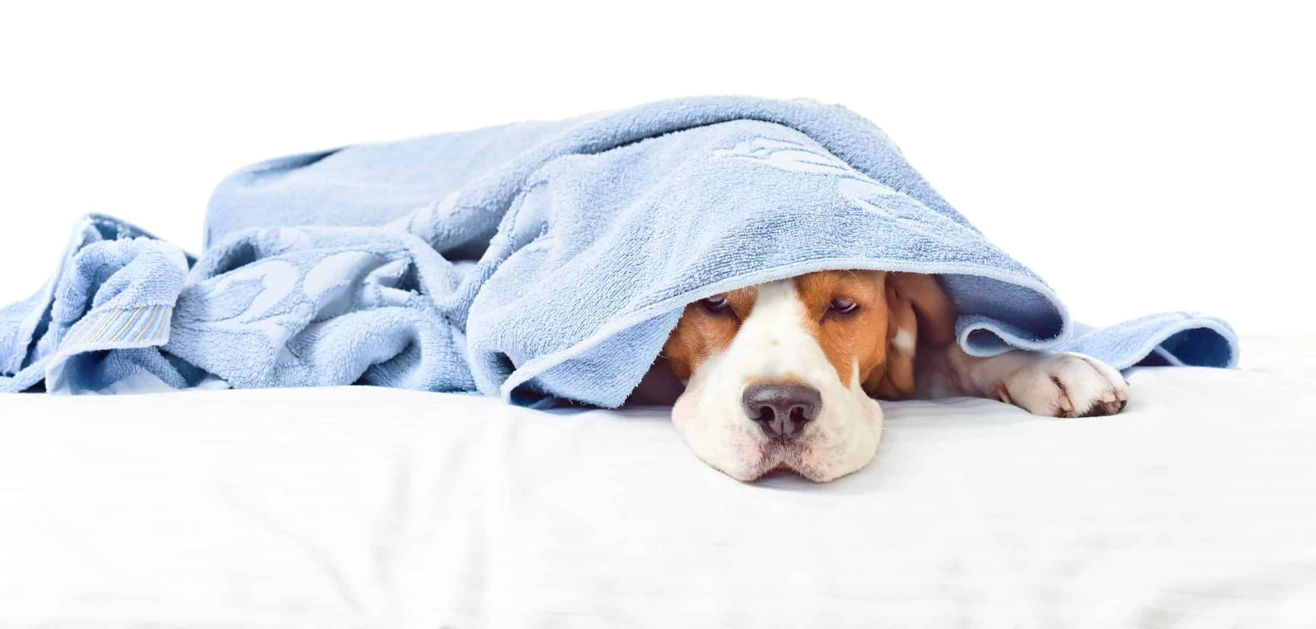Sick dog lies under a towel. It's never too early or too late to watch for symptoms of anemia in dogs and get a diagnosis.