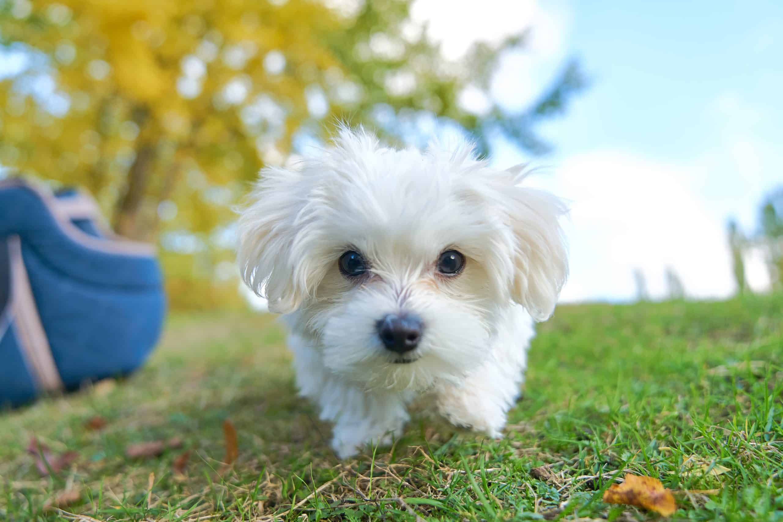 Maltese are among the dog breeds prone to dog tear stains.