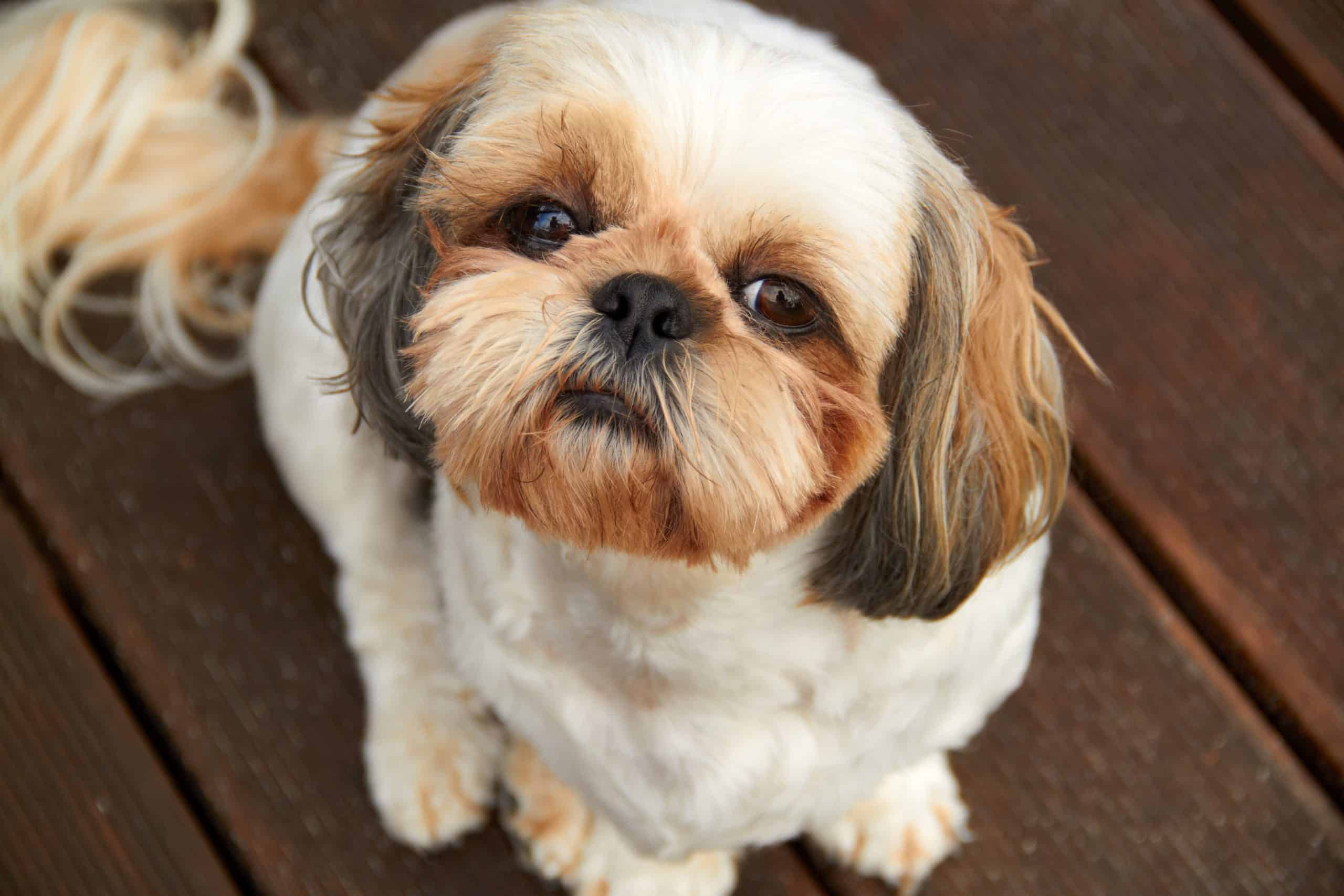 Dog breeds like the Shih-Tzu are prone to dog tear stains.