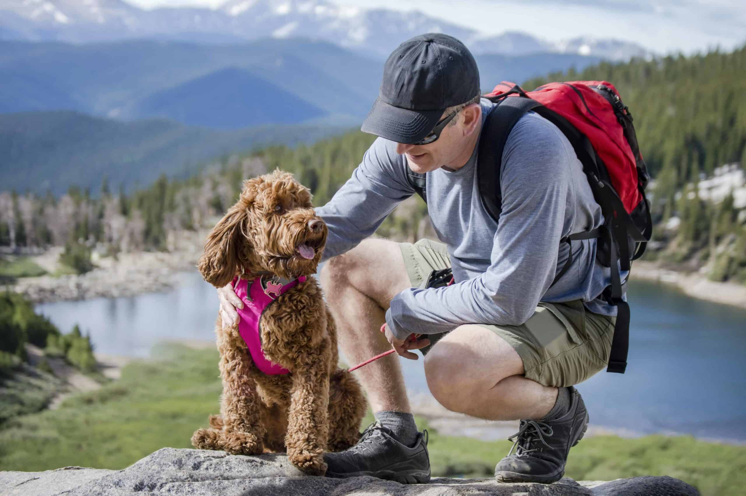 Man hikes with a golden doodle. Dog travel distance depends on the age and breed of the dog. A small, active dog can travel between 5 and 6 hours a day or 12.5 and 15 miles.