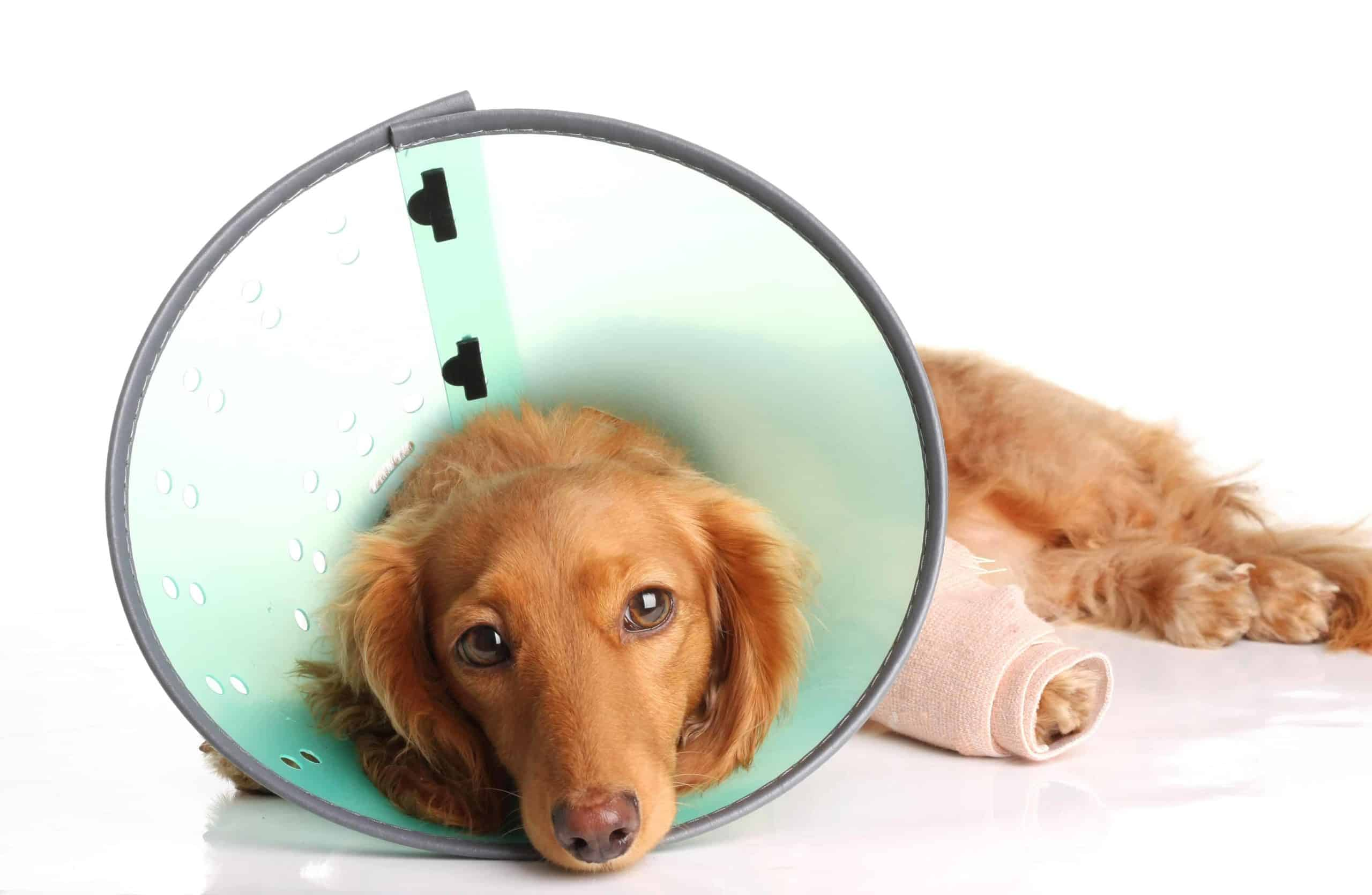 Golden Retriever with injured leg wears an e-collar. When an emergency strikes, it can be helpful to follow a step-by-step list of things you should do when your dog needs immediate care.