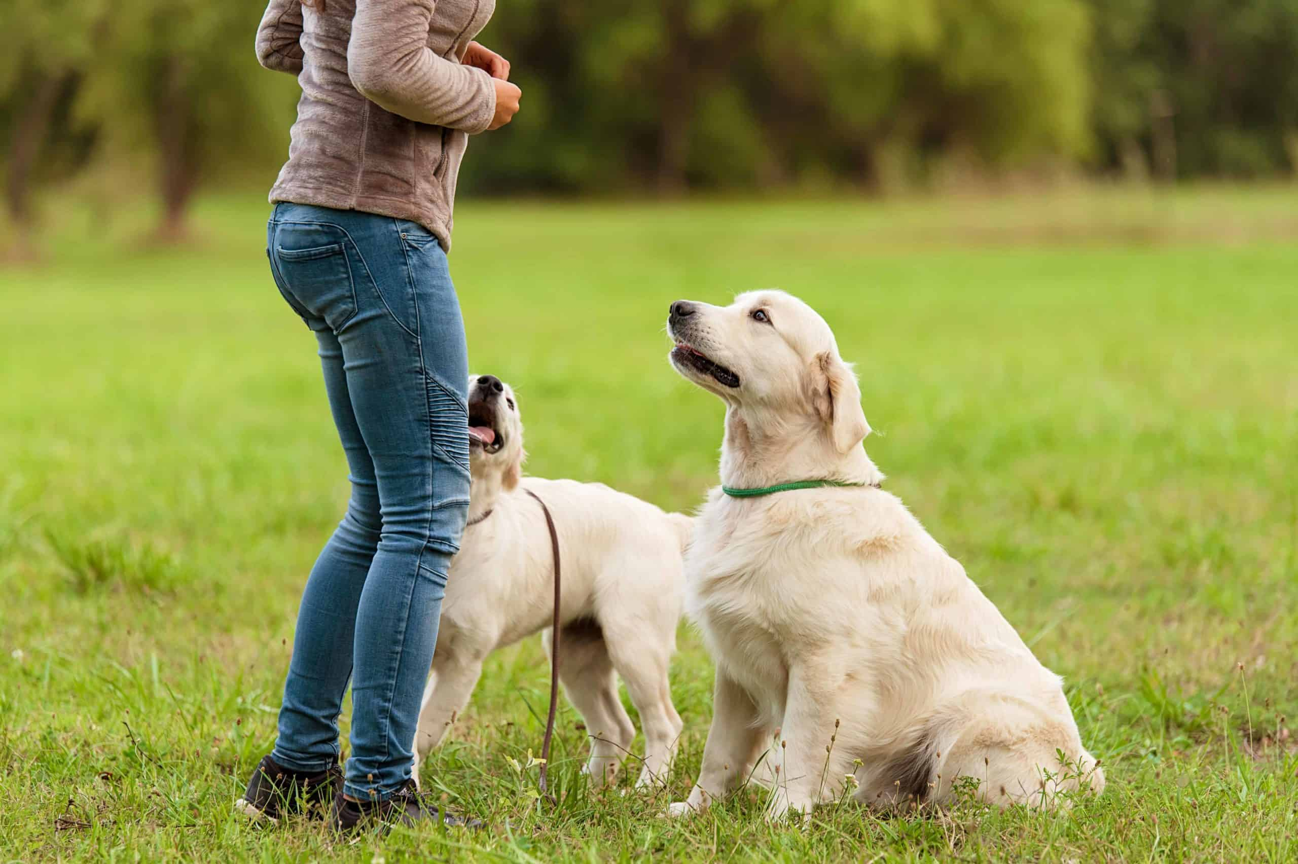 """Woman trains pair of golden retrievers. Teach your dog three essential behaviors.Train your dog to stop barking, and learn the commands """"place"""" and """"leave it."""""""
