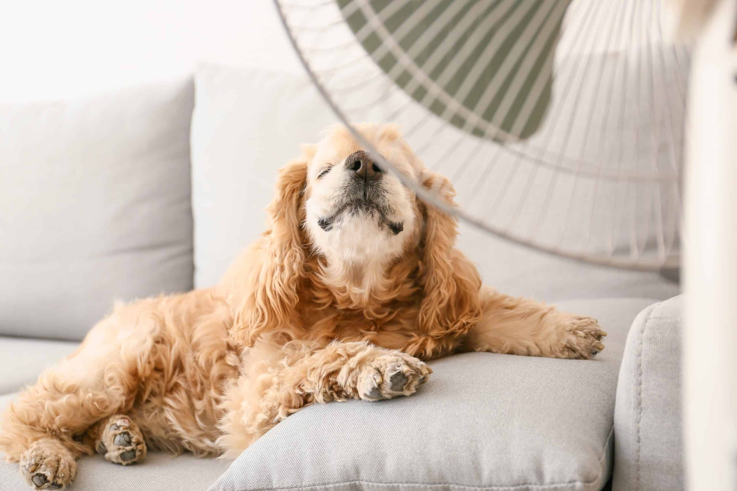 Cocker spaniel sits in front of a fan. Cool dogs suffering from heatstroke down quickly by giving your dog water to drink, spraying it with cool water, or using a fan.