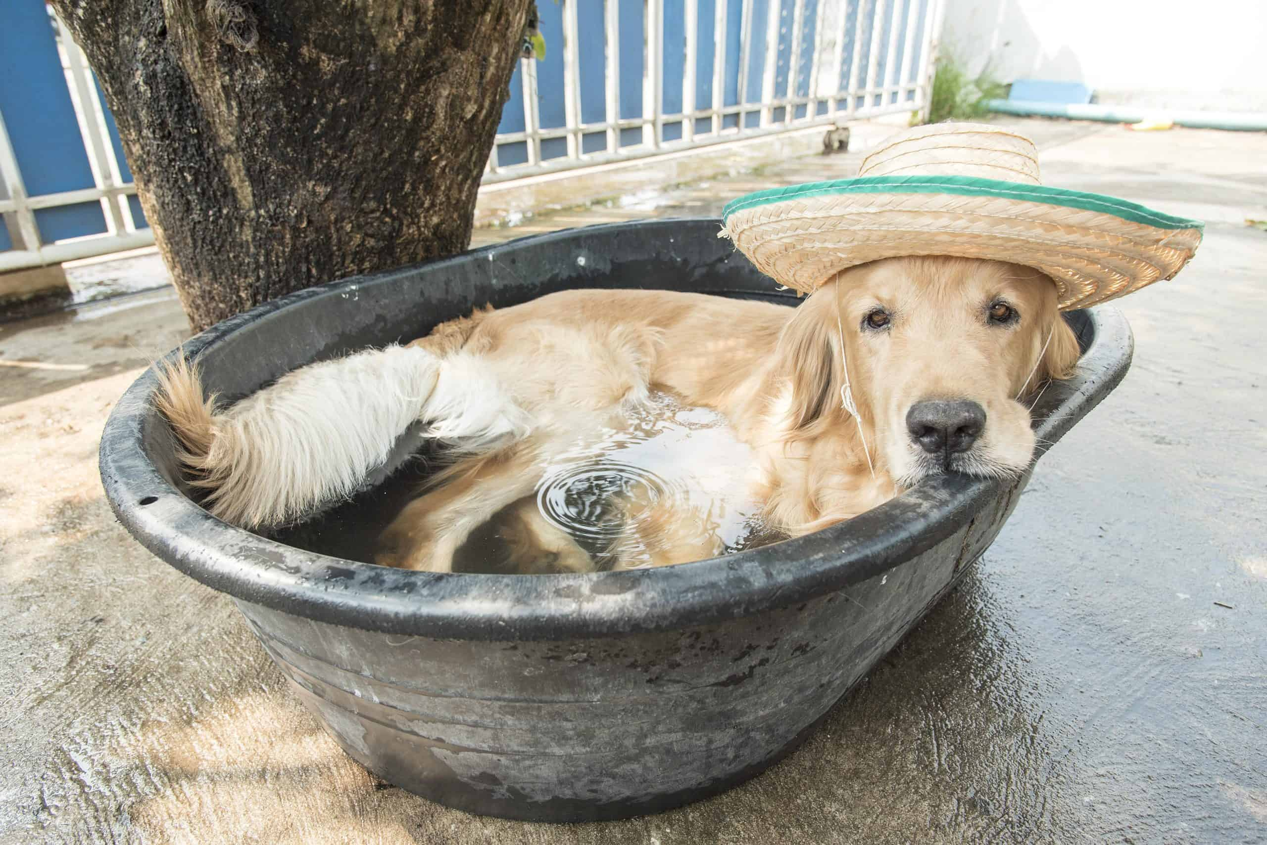 Golden retriever lounges in a bucket of water.